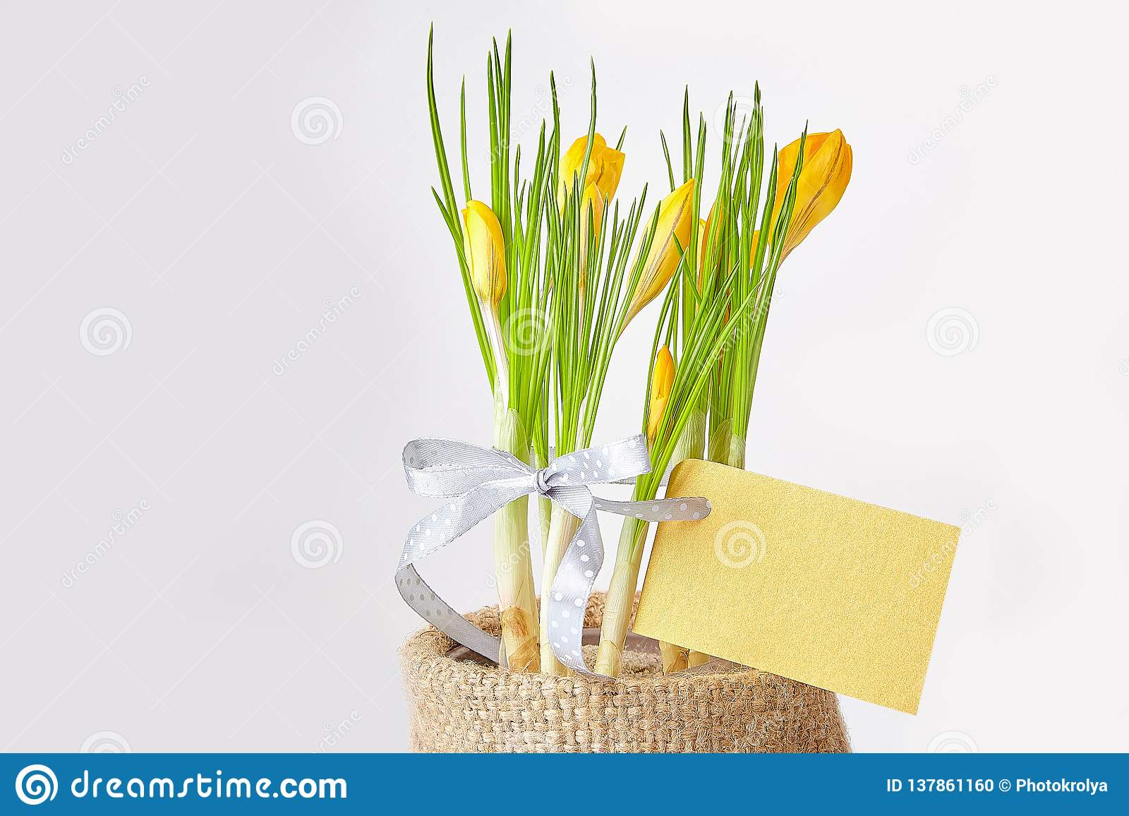 Yellow crocuses on a white background