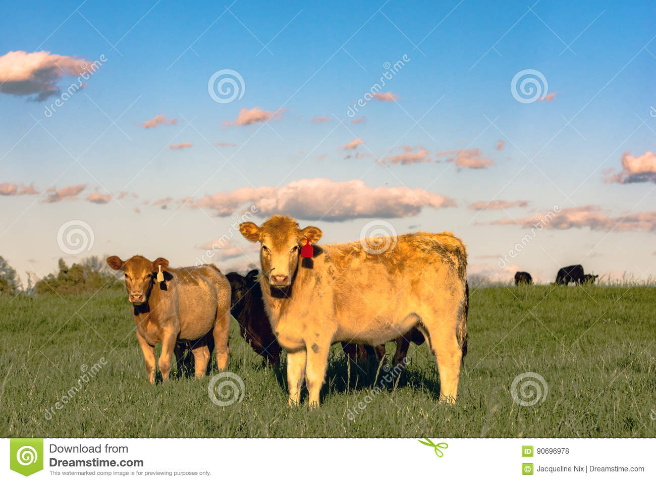 Yellow crossbred heifers in pature