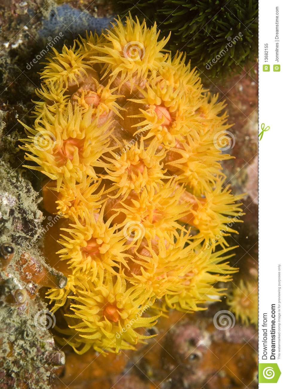 Yellow Cup Coral Royalty Free Stock Photo - Image: 13682155