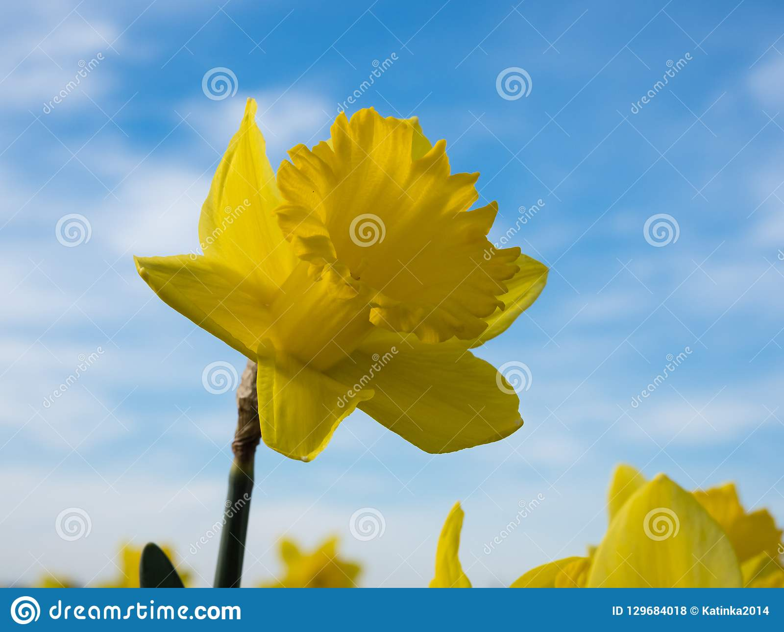 Yellow daffodil growing on a field against blue sky