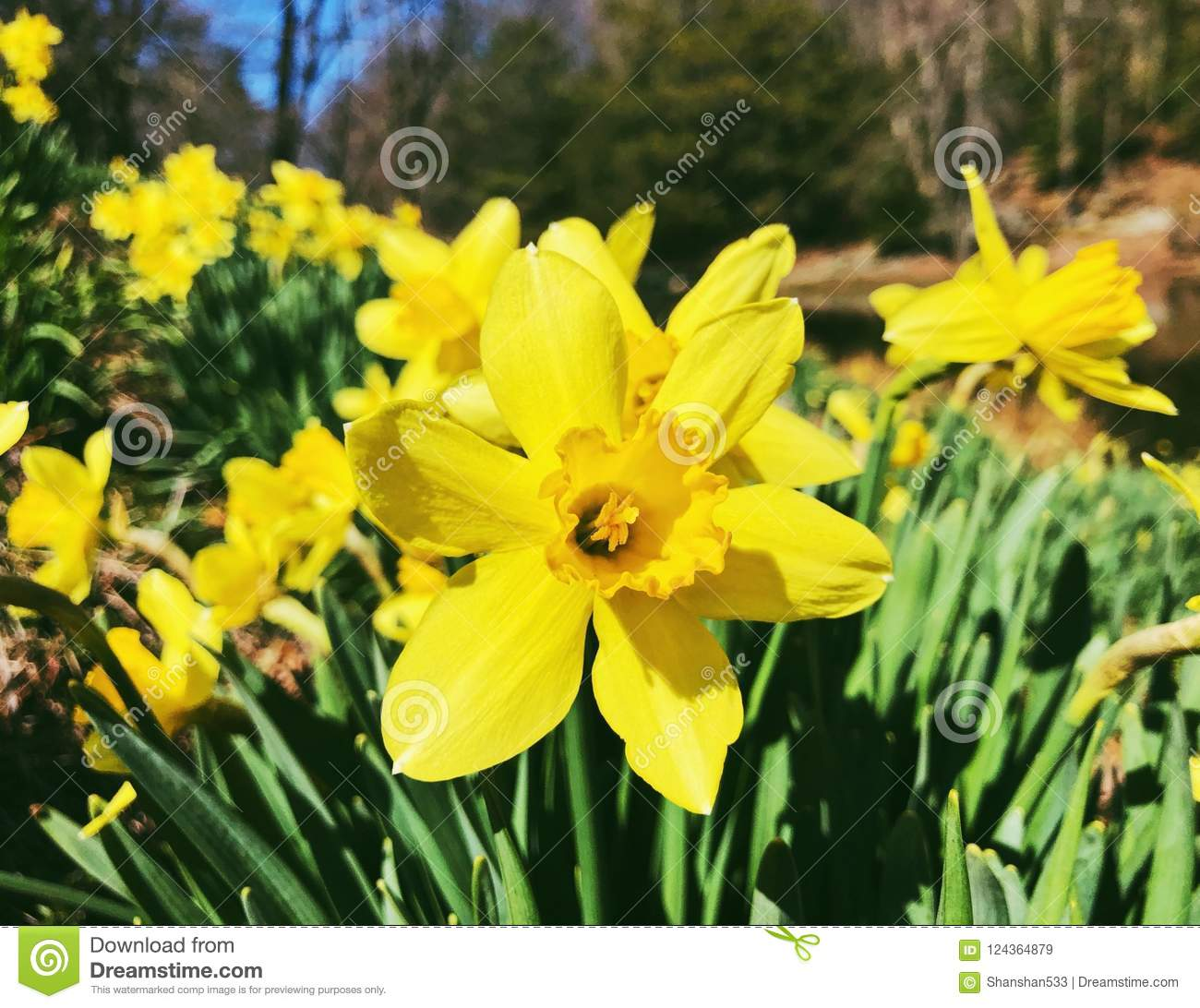 Yellow Daffodils Flowers Blooming In Spring Stock Image Image Of