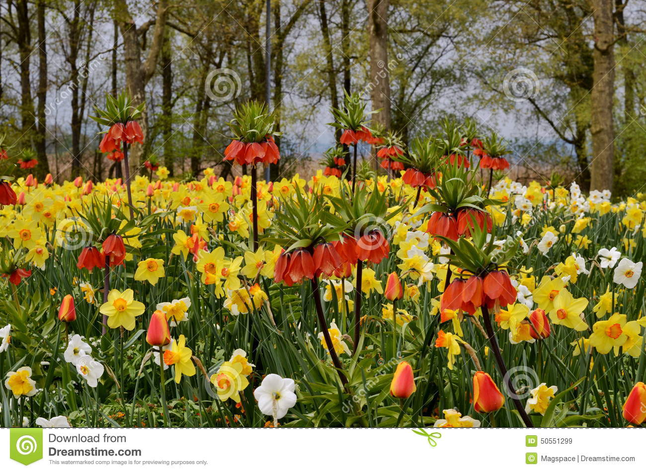 Yellow Daffodils In Spring Stock Photo - Image: 50551299