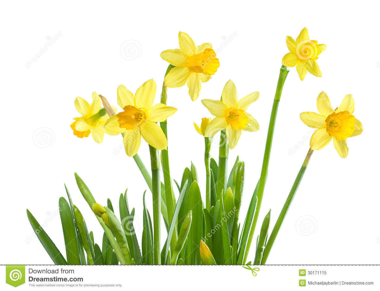 Spring Flowers - Isolated Daffodils Royalty Free Stock ...