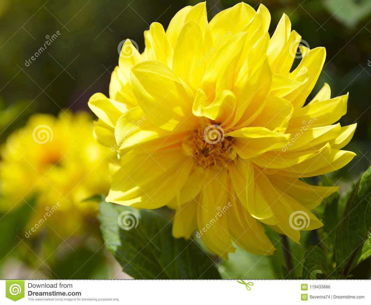 Yellow dahlia flower in gardenight floral summer background yellow dahlia flower in gardenight floral summer background izmirmasajfo