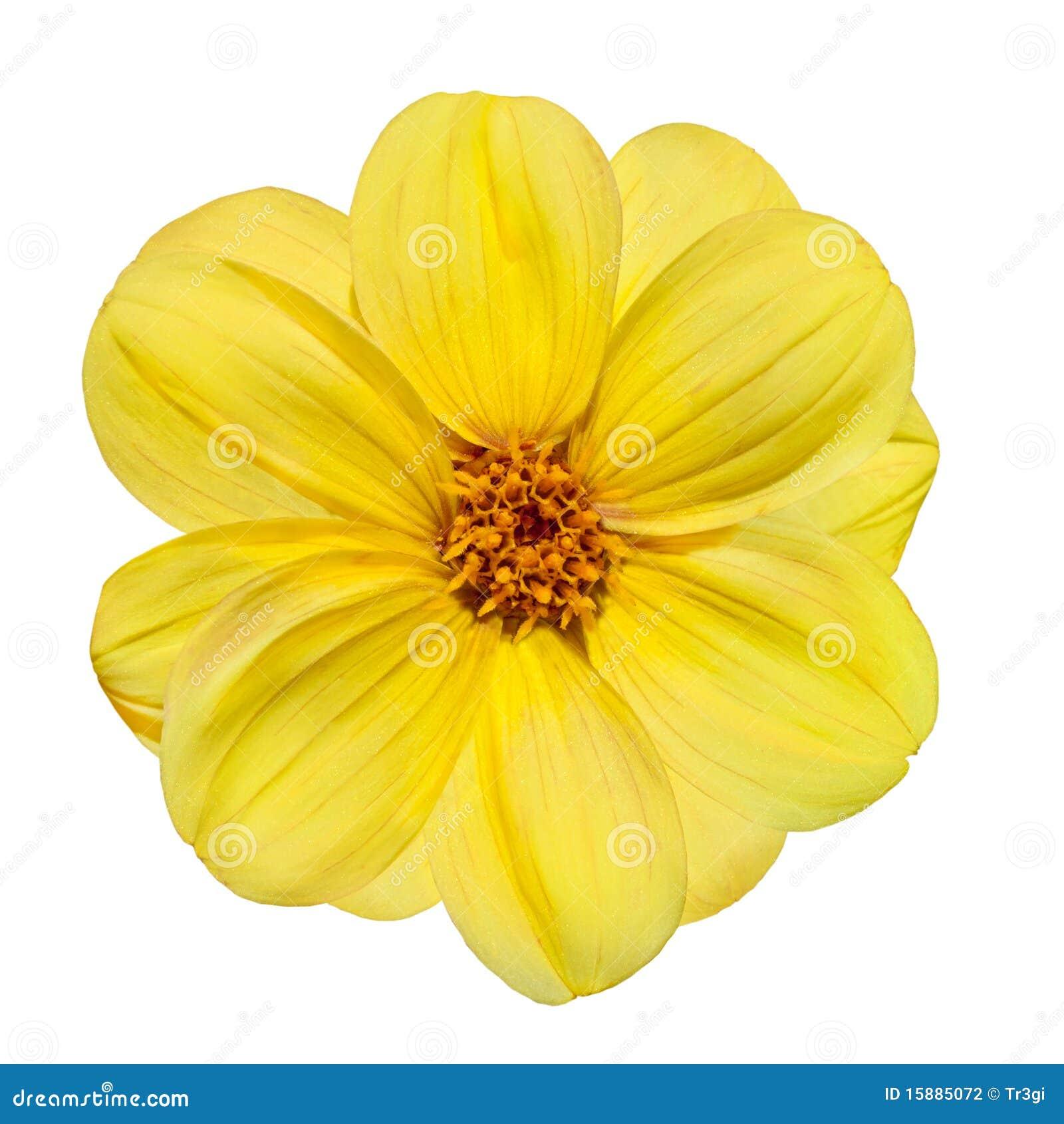 Yellow Dahlia Flower Isolated On White Background Stock ...