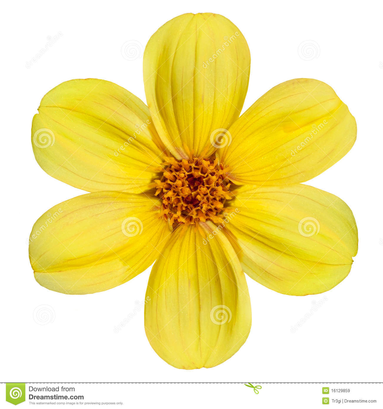 Yellow dahlia flower isolated on white background stock image download comp mightylinksfo