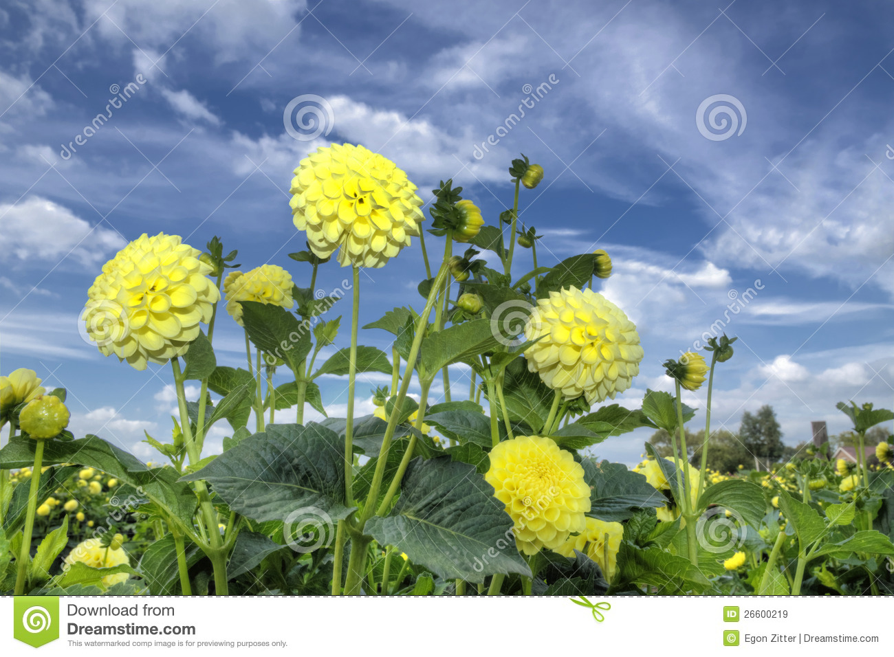 Yellow dahlia flowers stock image image of garden field 26600219 yellow dahlia flowers izmirmasajfo