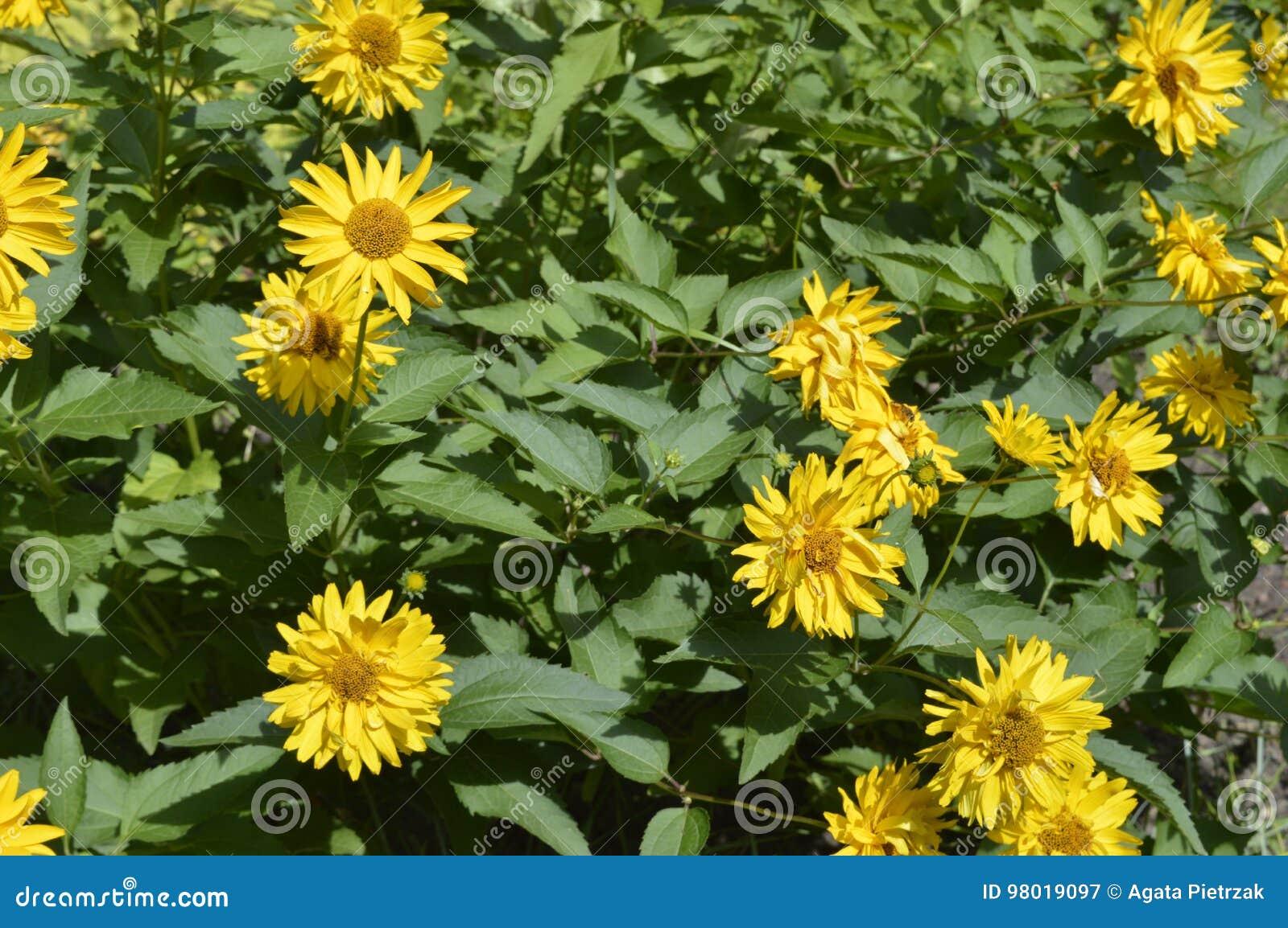 Yellow daisies stock image image of flower daisy composite 98019097 beautiful tall flowers like yellow daisies izmirmasajfo