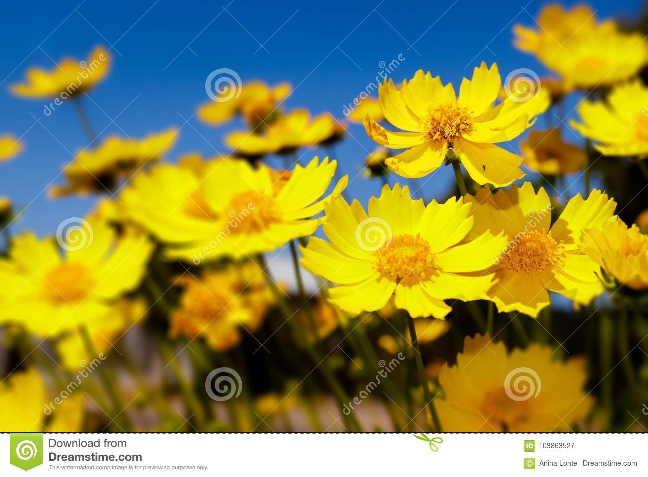 Yellow Daisies And Blue Sky Stock Image Image Of Daisies Flower