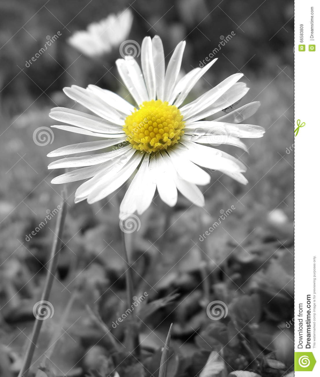 Yellow Daisy Stock Image Image Of Flower Ricoh Centre 66583809