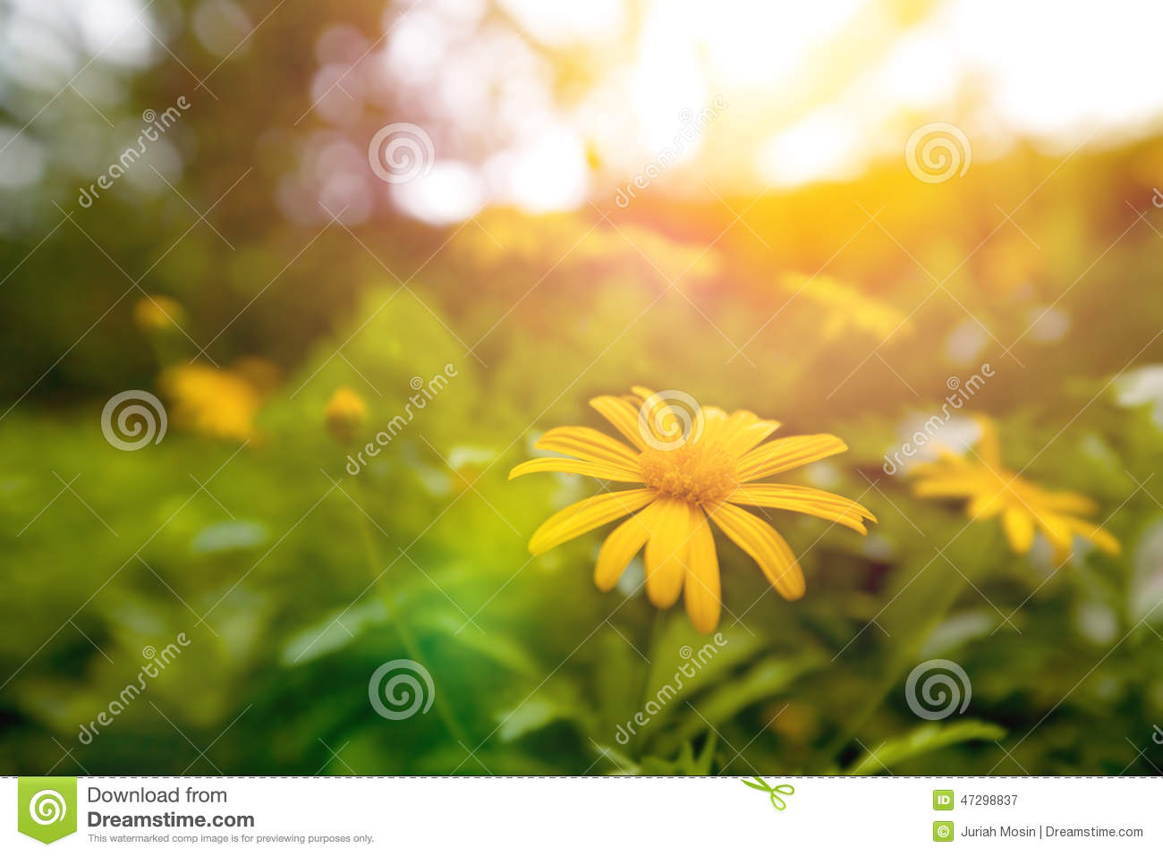 Download Yellow Daisy Blossom In The Garden In Early Sunrise Stock Image - Image of bright, environment: 47298837
