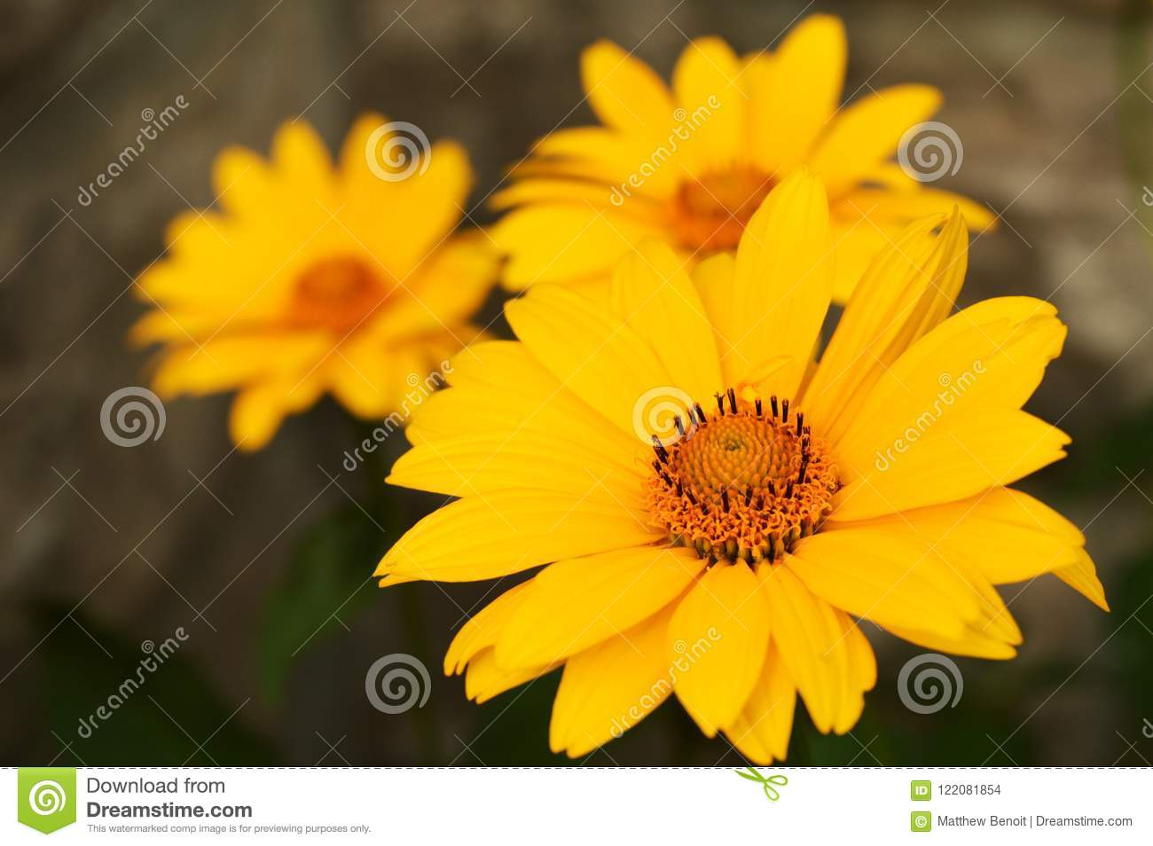 Yellow Daisy Family Flower Stock Photo Image Of Color 122081854