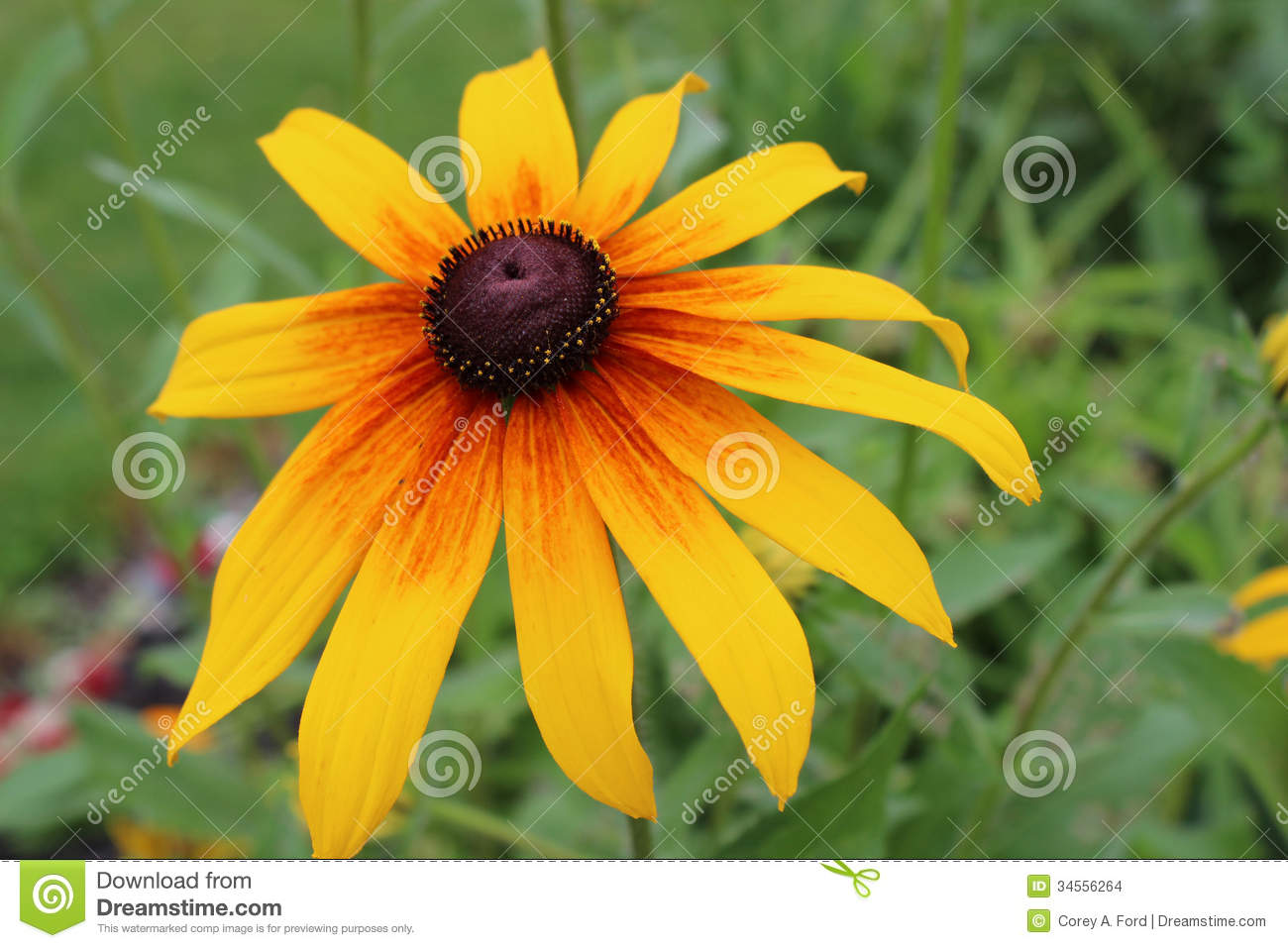 Yellow Daisy Flower Stock Photo Image Of Nature Image 34556264
