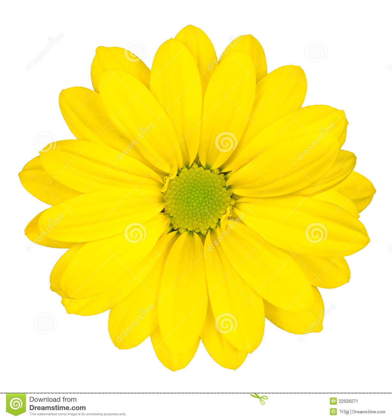 Yellow Daisy Flower With Green Center Isolated Stock Image Image
