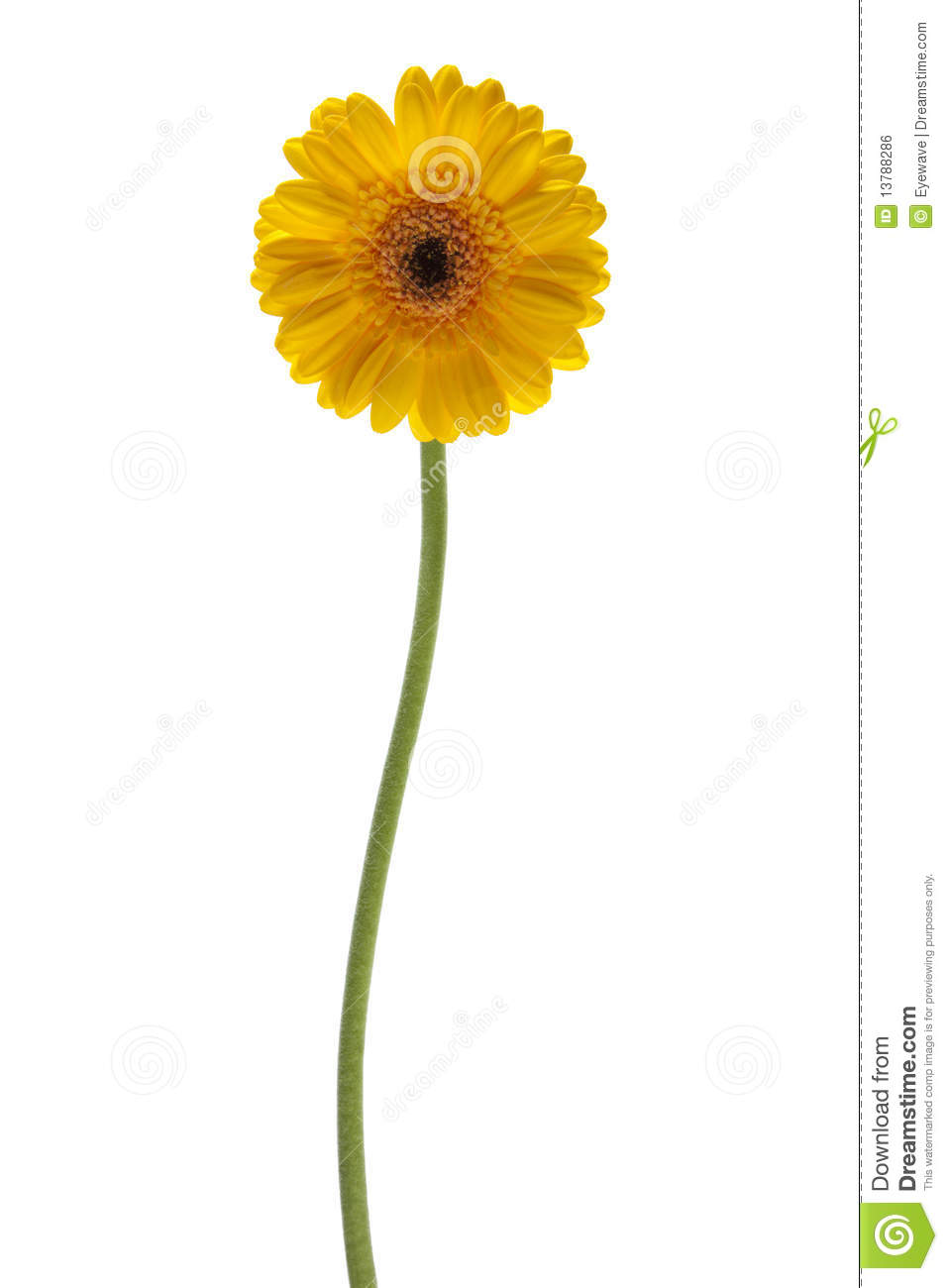 Yellow Daisy Flower Isolated Royalty Free Stock Image ... White Daisy Flowers Clipart