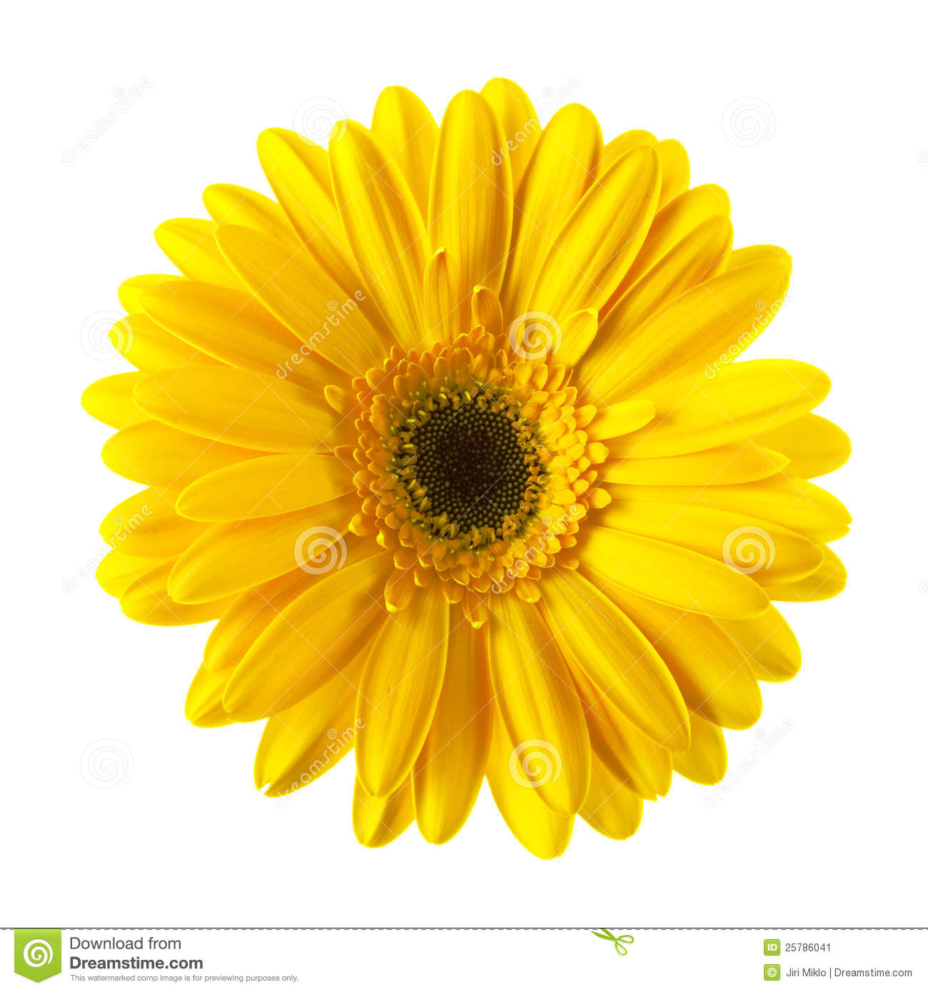 Yellow Daisy Flower Isolated Stock Photo 25786041 Megapixl