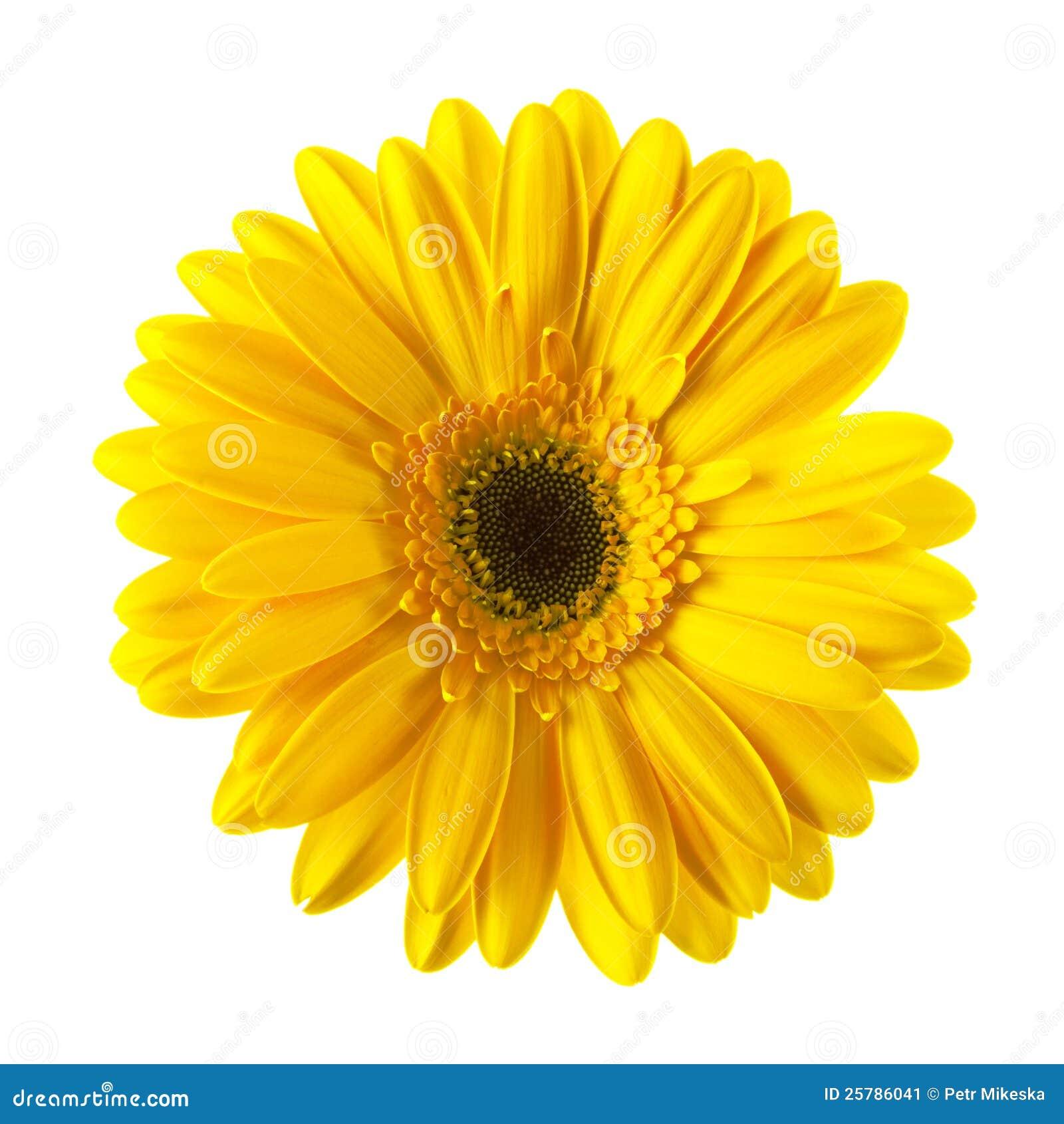 yellow daisy flower isolated stock image  image, Beautiful flower