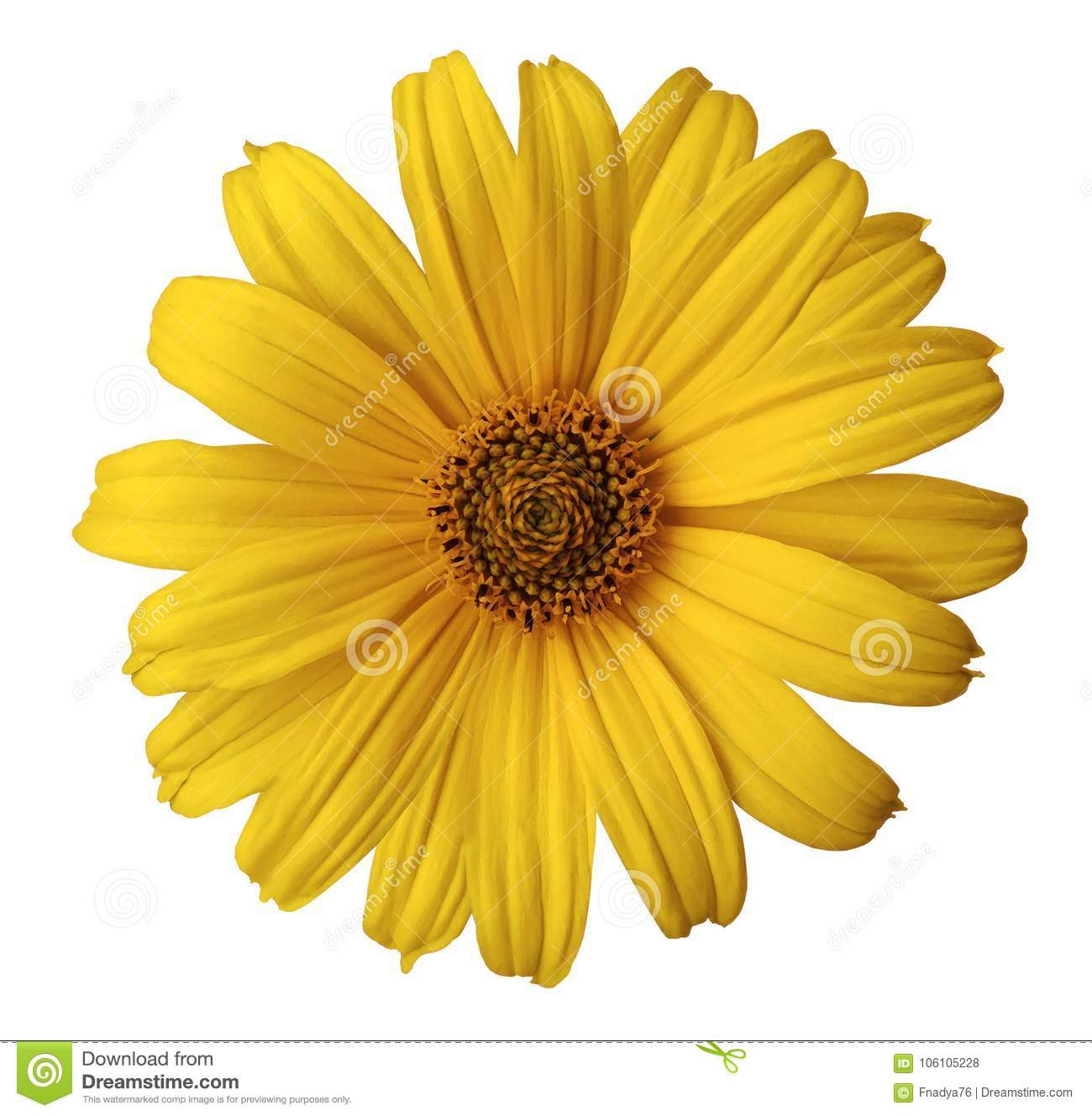 Yellow daisy flower on a white isolated background with clipping path. Flower for design, texture, postcard, wrapper. Closeup.