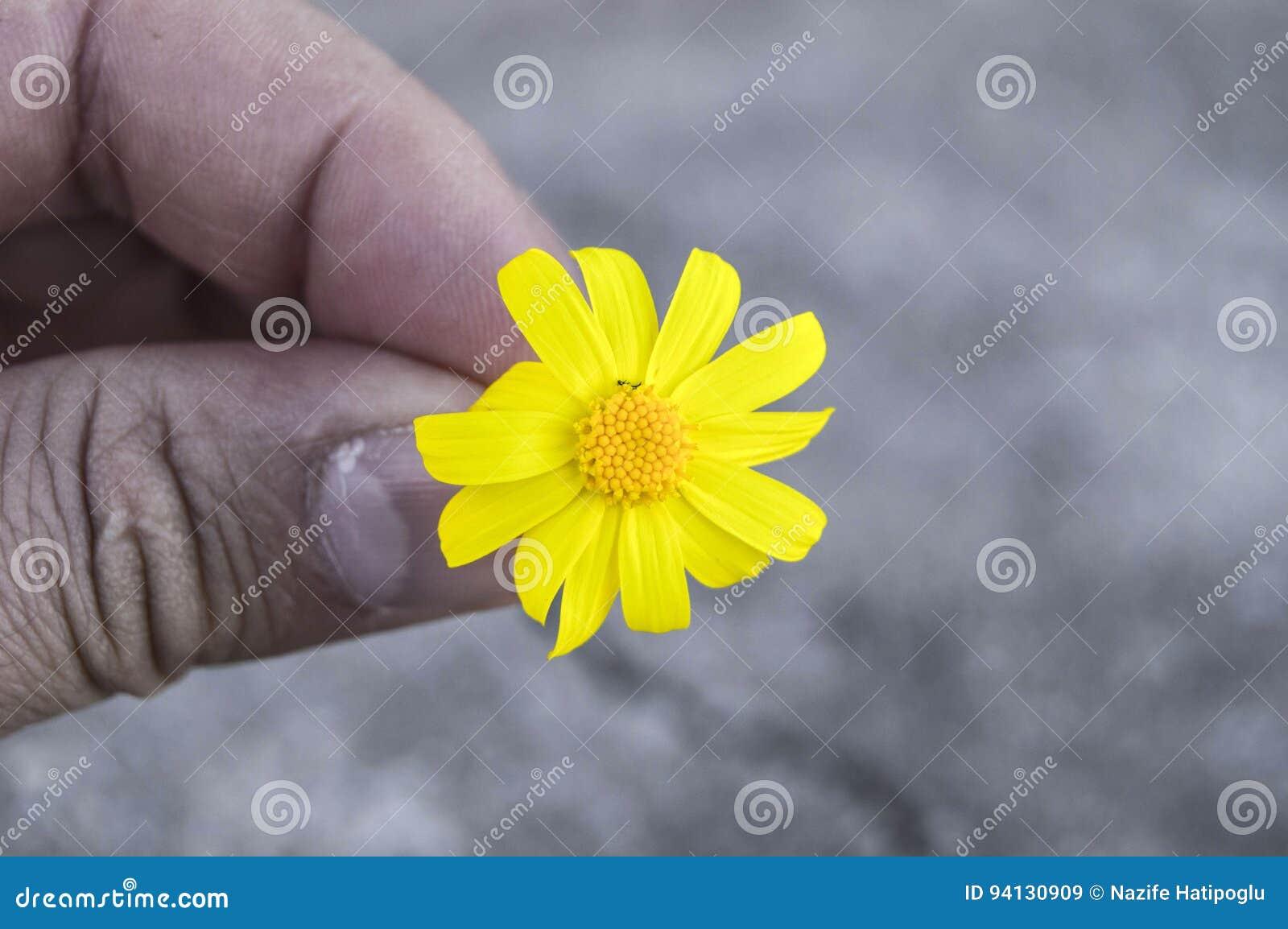 Yellow Daisy Flowerssidewalks Ornamental Flowers Natural Colored