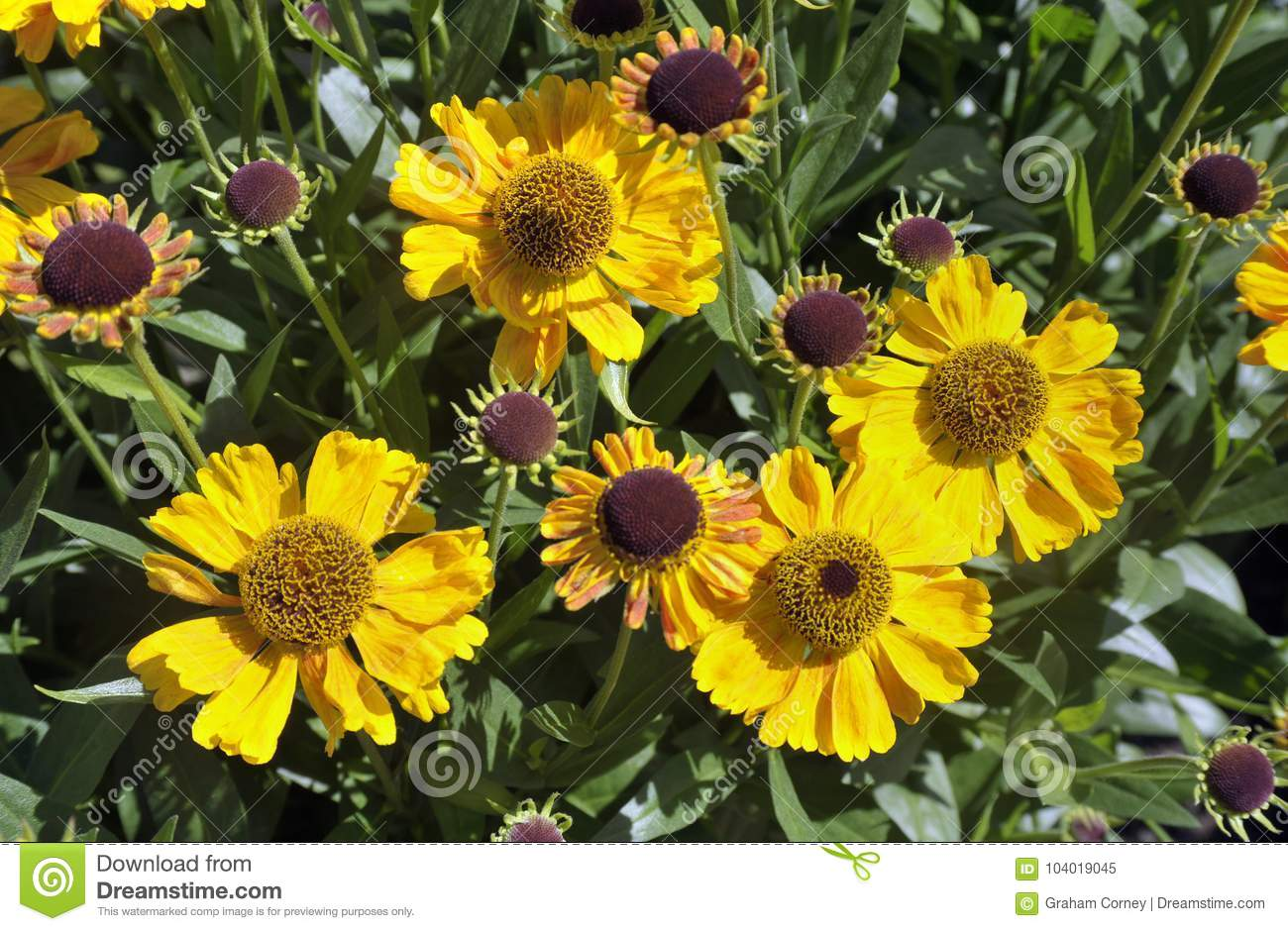 Heliopsis Flowers Tuscan Sun Yellow Blooms Stock Image Image Of