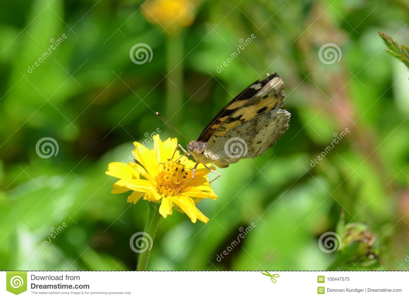 Black And Yellow Butterfly Sucking Nectar From A Beautiful Yellow