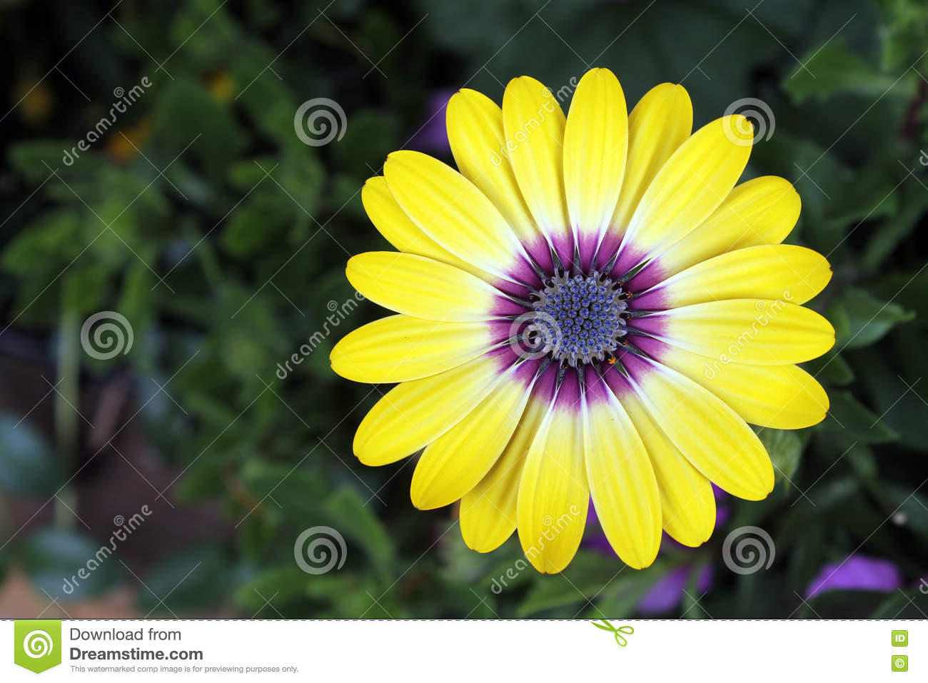 Yellow Daisy With Purple Center Stock Image Image Of Center
