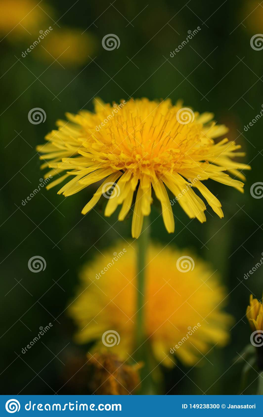 Yellow dandelion blooming in May