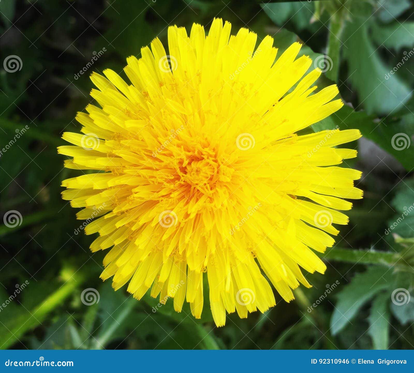 Yellow dandelion bright flower dandelion on background of green yellow dandelion bright flower dandelion on background of green mightylinksfo
