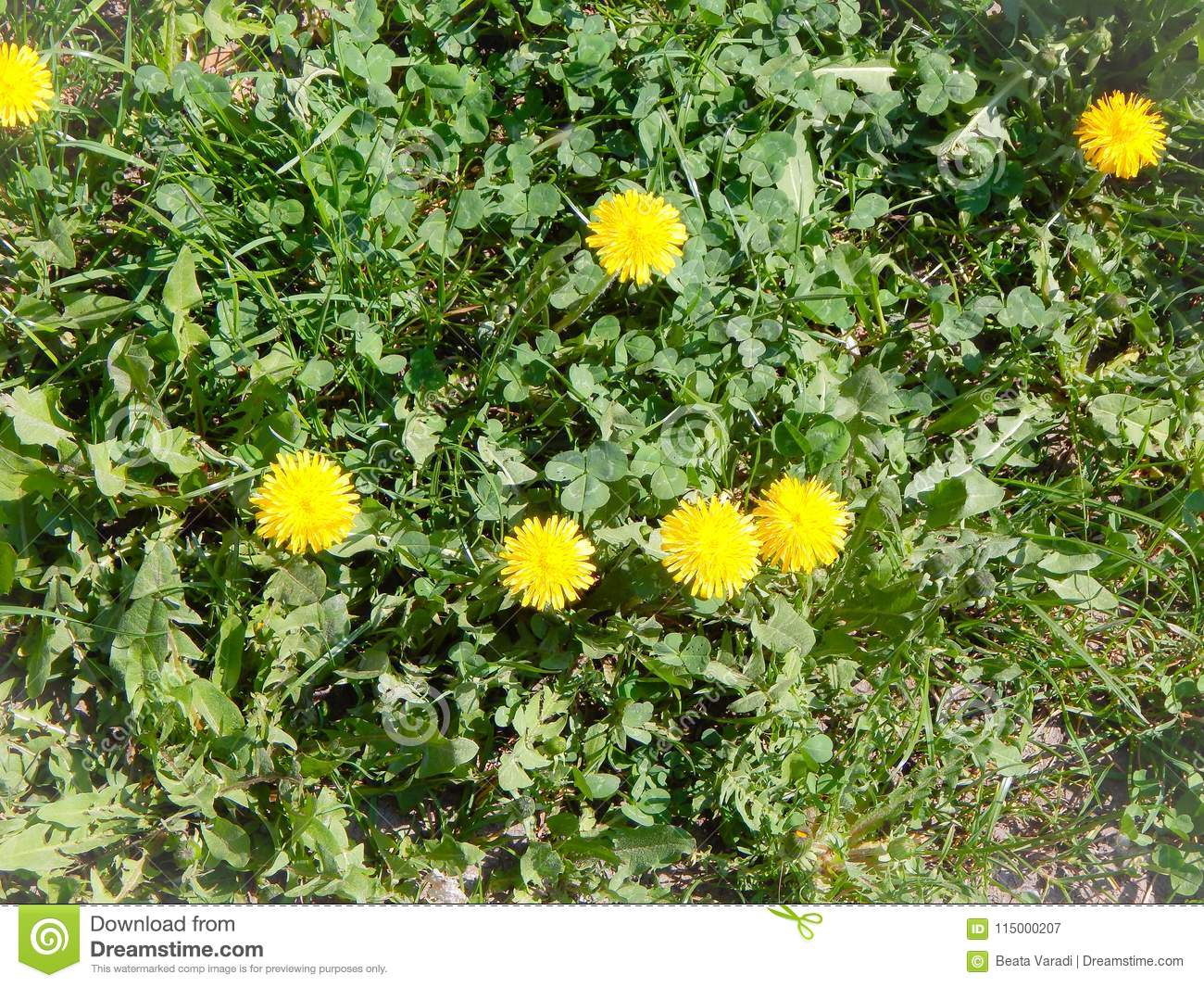 Yellow Dandelion Flowers With Green Leaves And Clovers Stock Image