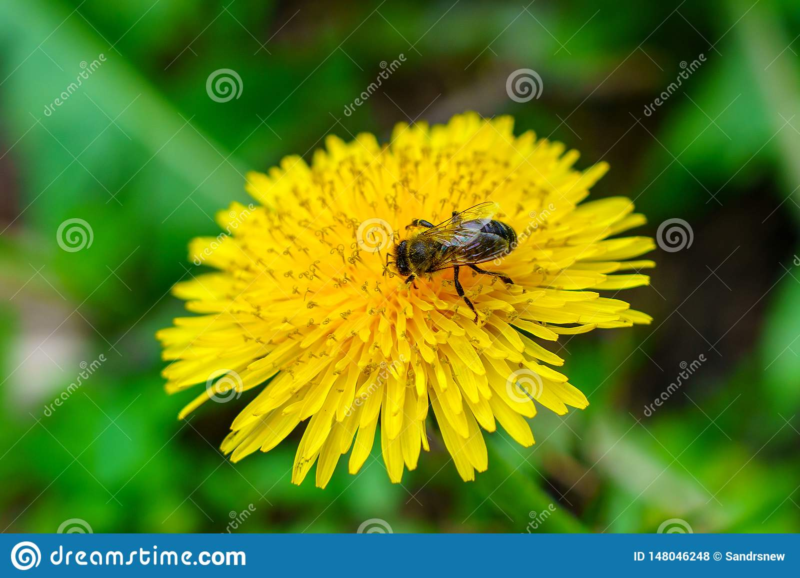 Yellow Dandelion In Green Grass, The Bee On The Flower ...