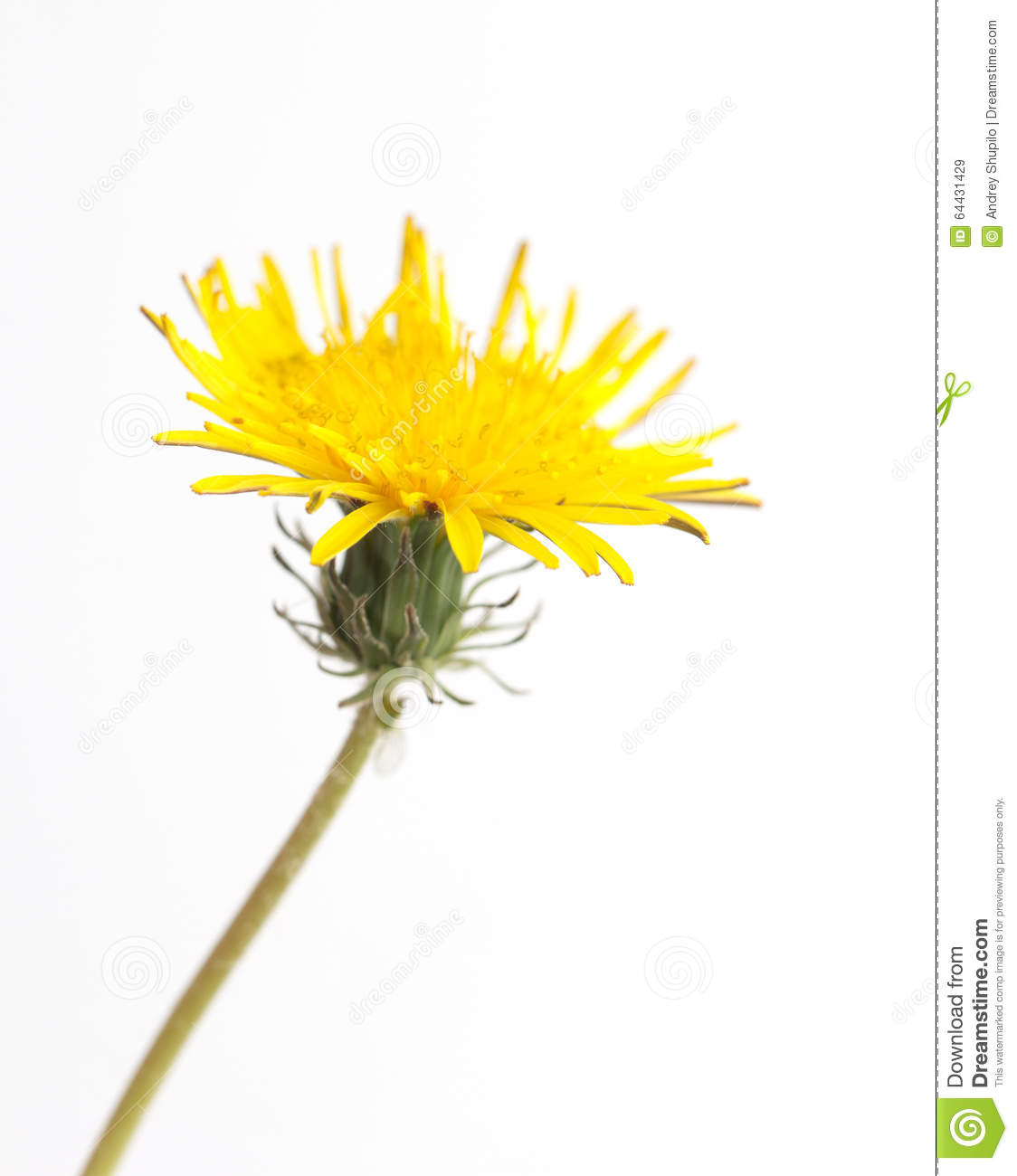 Yellow Dandelion Stock Image. Image Of Blossom, Bloom