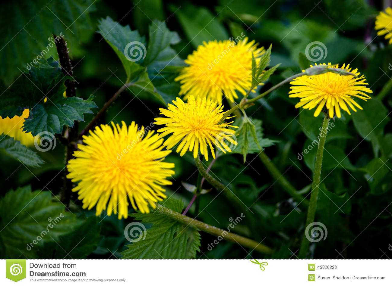 Yellow Dandelions Stock Photo Image Of Horizontal Petals 43820228