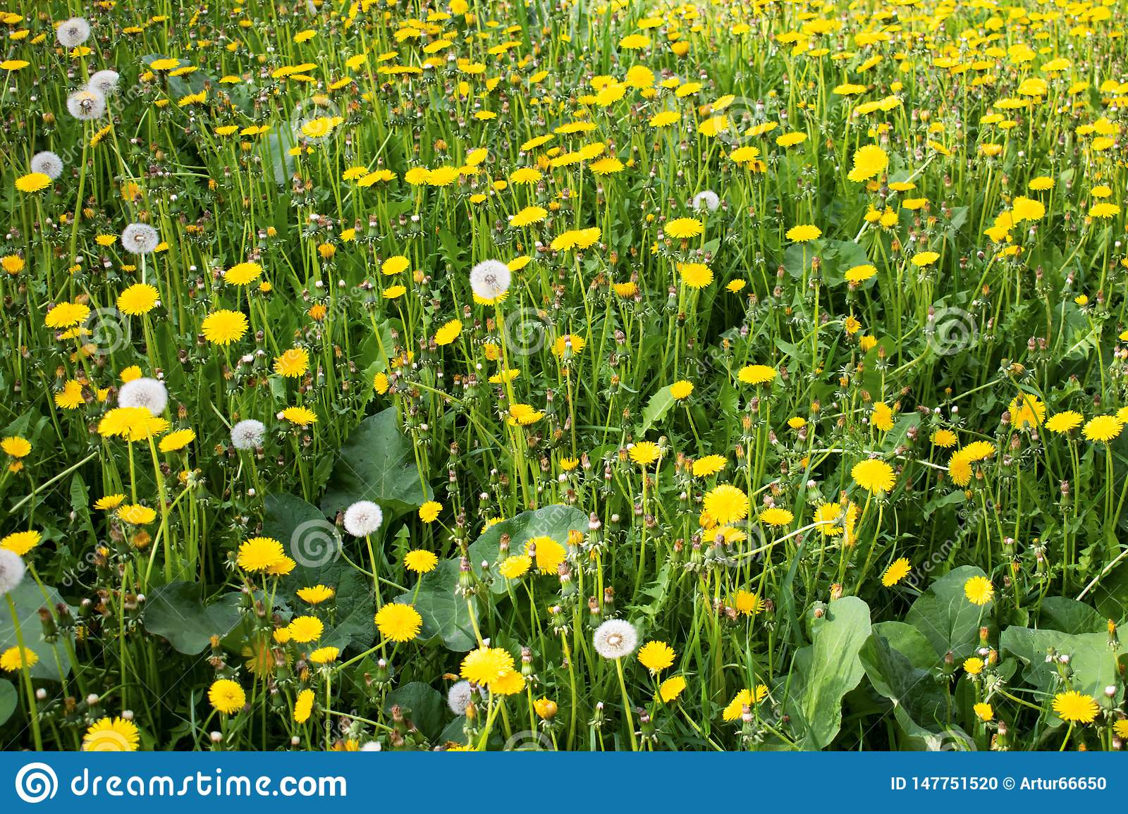Yellow dandelions on green grass close up