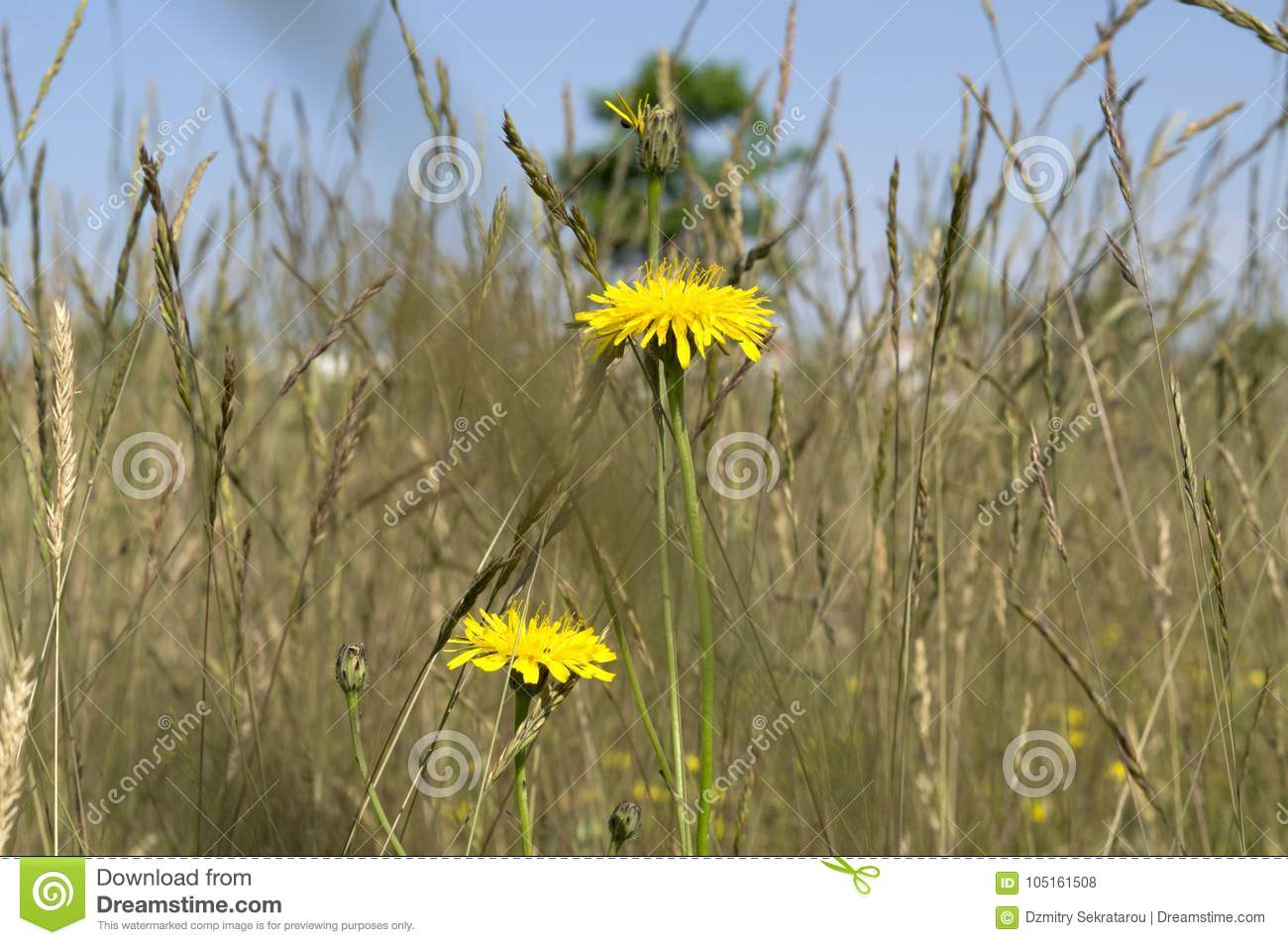 Yellow dandelions in the tall grass in the meadow stock photo download yellow dandelions in the tall grass in the meadow stock photo image of nature mightylinksfo
