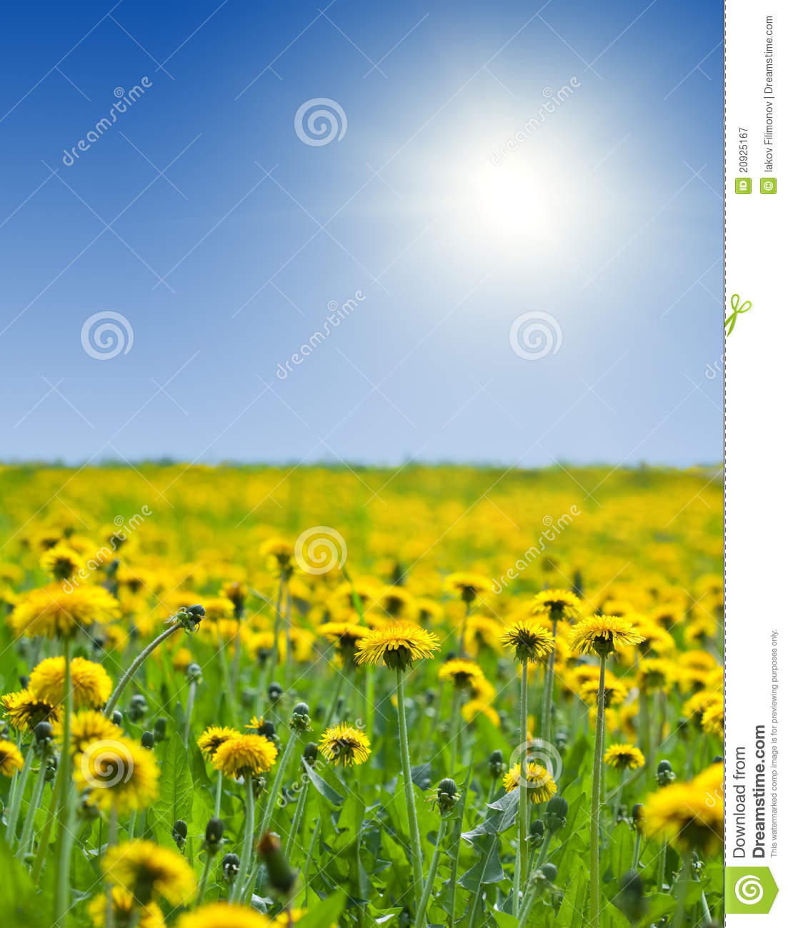 Yellow Dandelions Under Bly Sky Stock Image