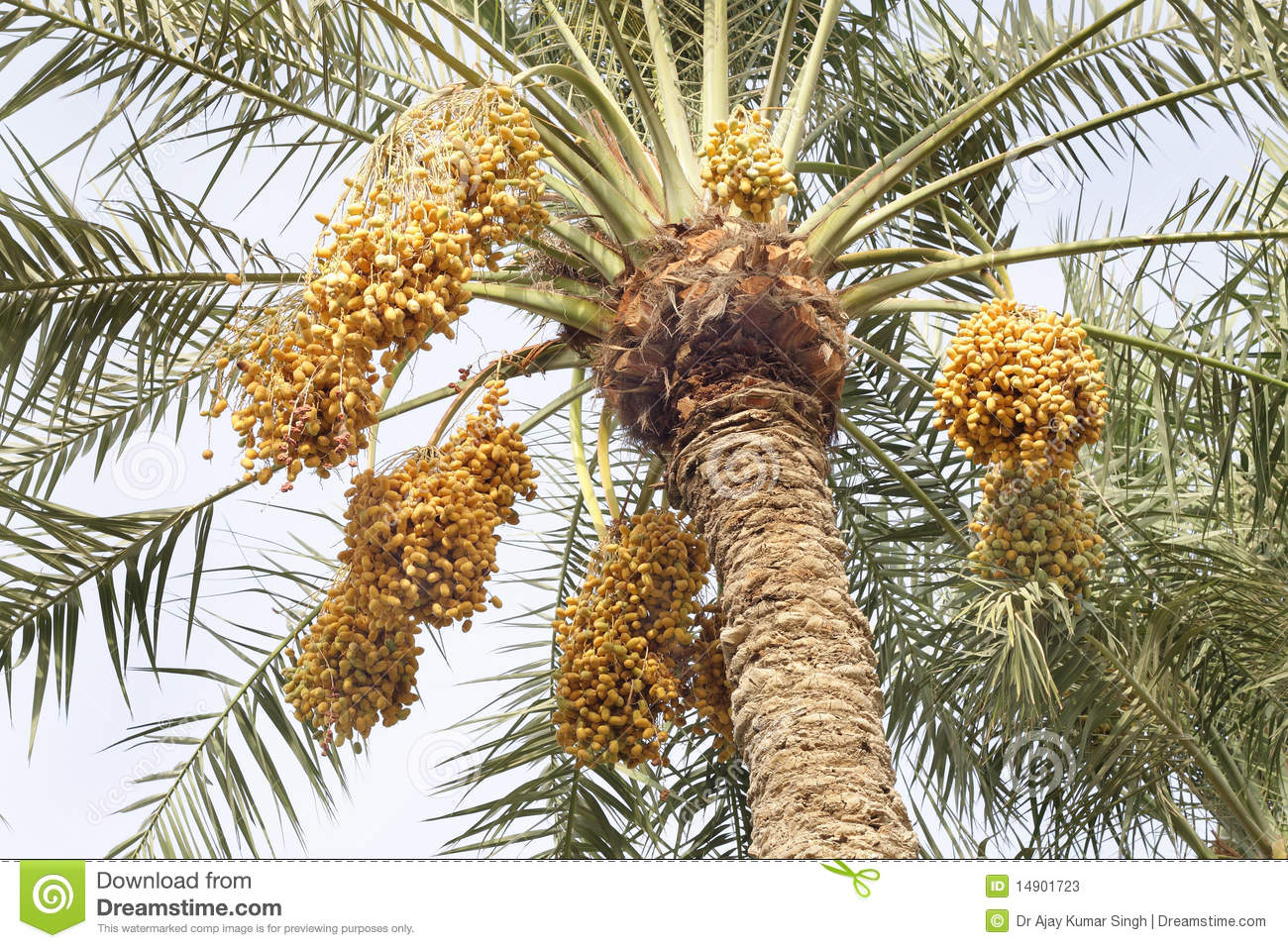 Yellow Dates Bunches In A Date Palm Tree Stock Image Image Of