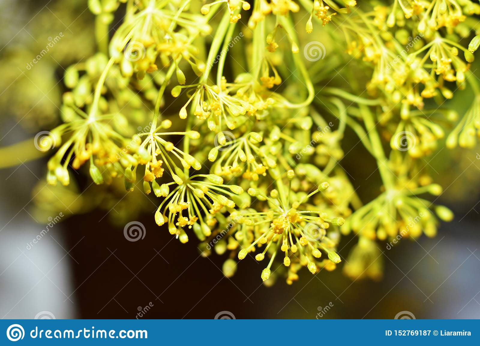 Yellow dill flowers. Macro photo of fennel.
