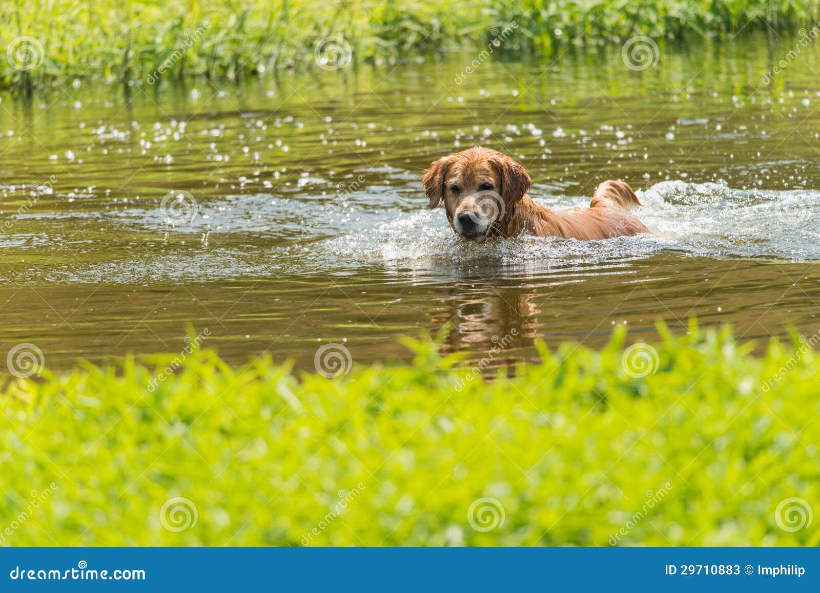 A swimming dog