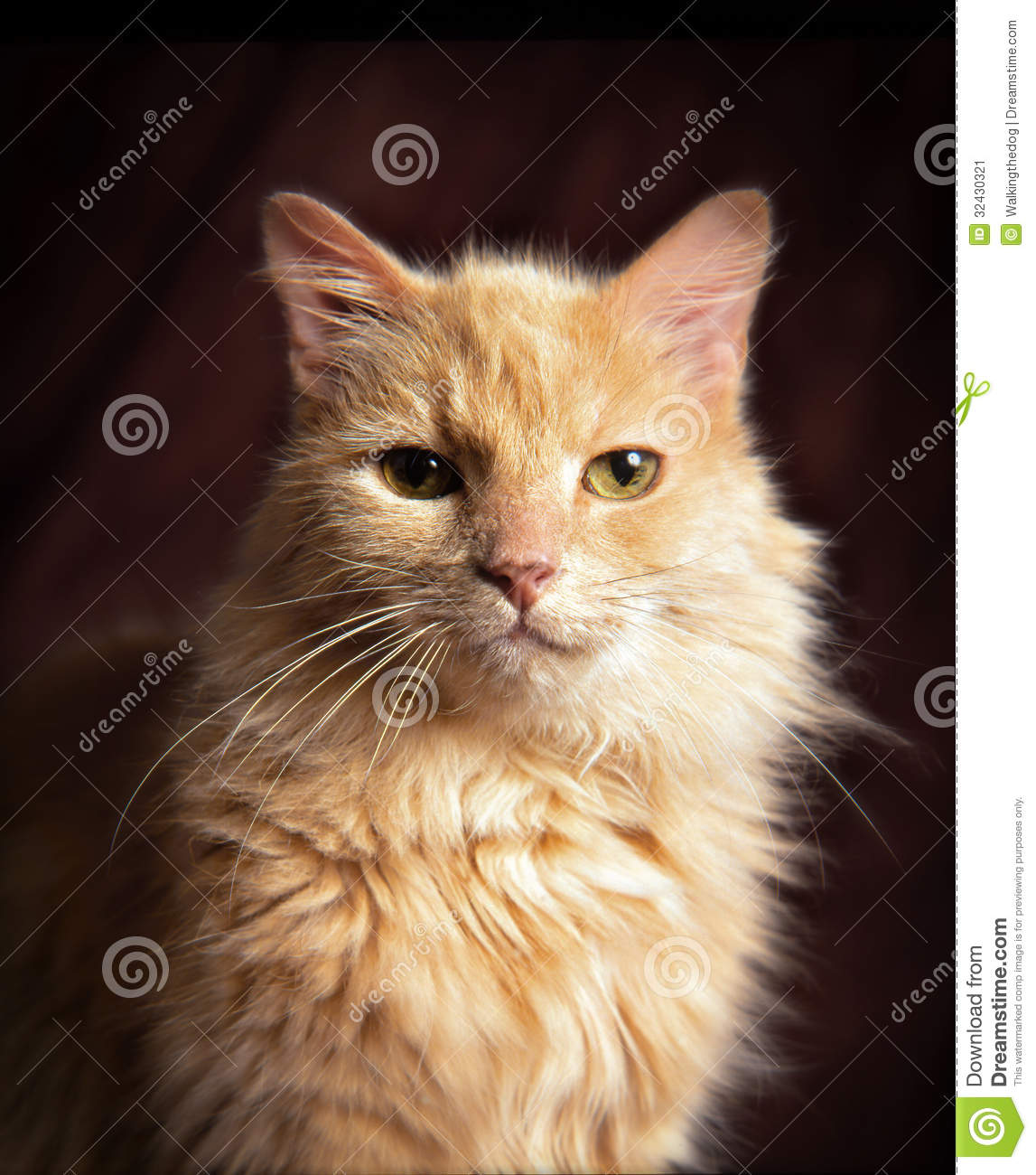 Yellow domestic cat stock image. Image of lovely, curious ...