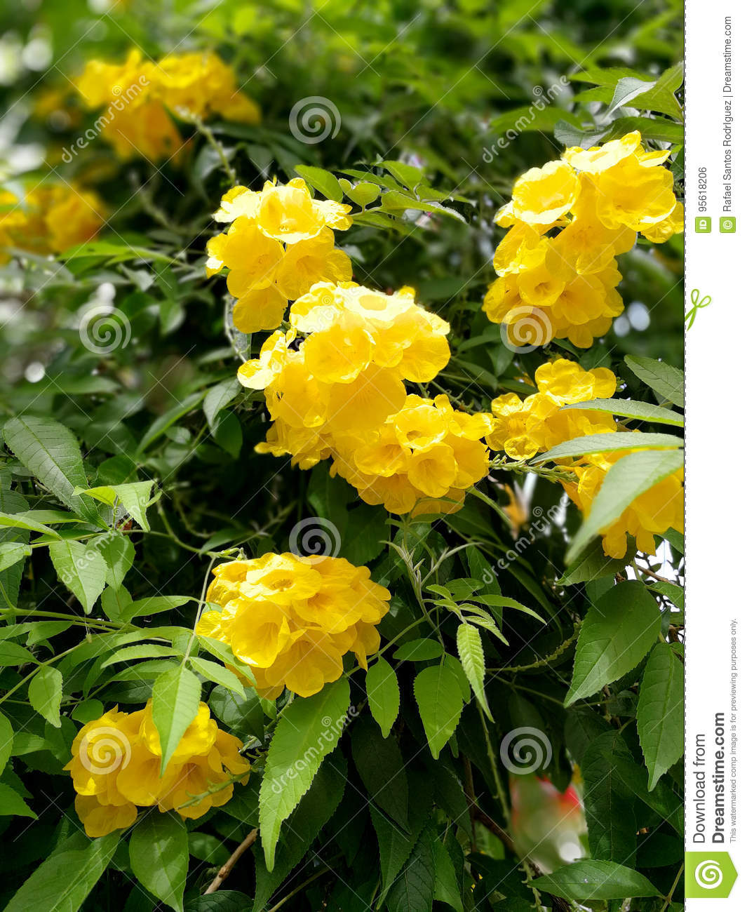 Yellow Elder Flower Bush Stock Photo Image Of Summer 95618206