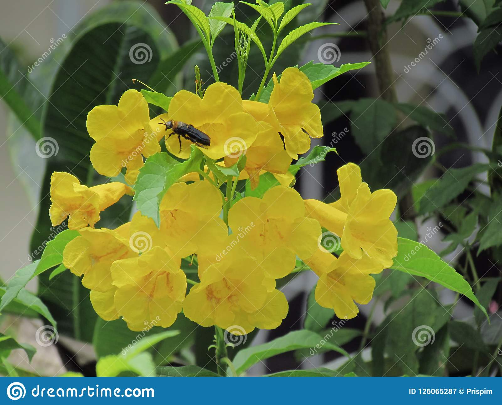 Yellow Elder Flower Trumpetbush Trumpet Flower Yellow Trumpet