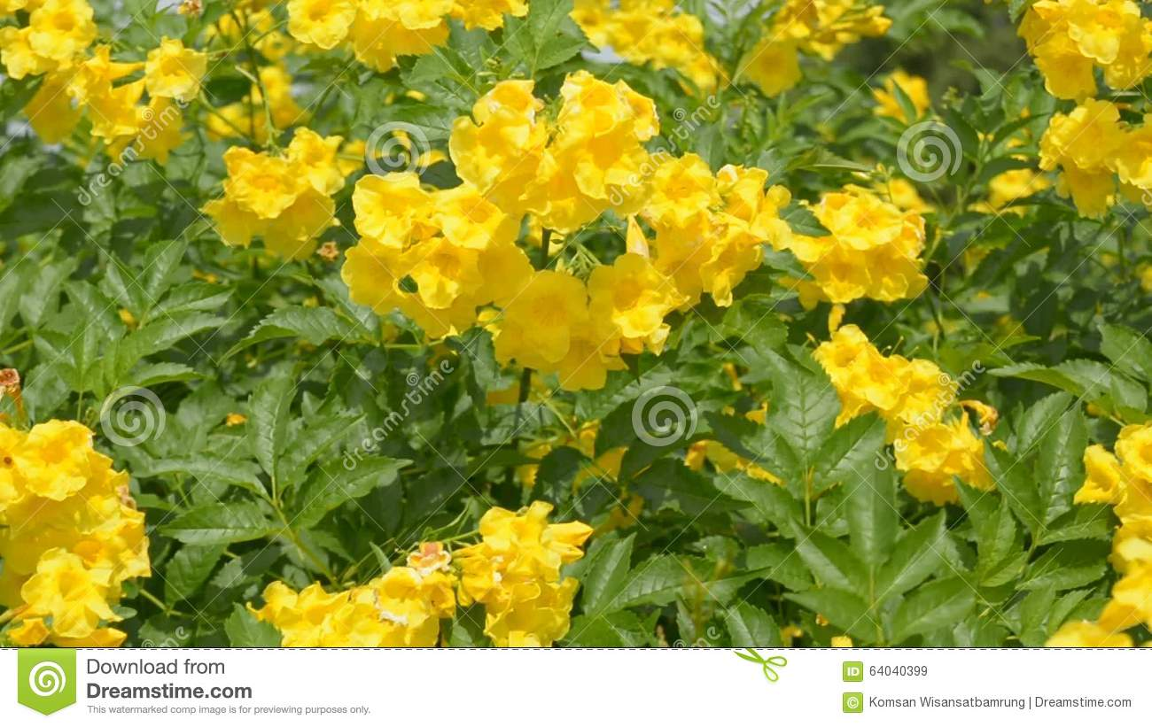Yellow Elder Floweryellow Elder Trumpetbush Trumpetflower Yellow