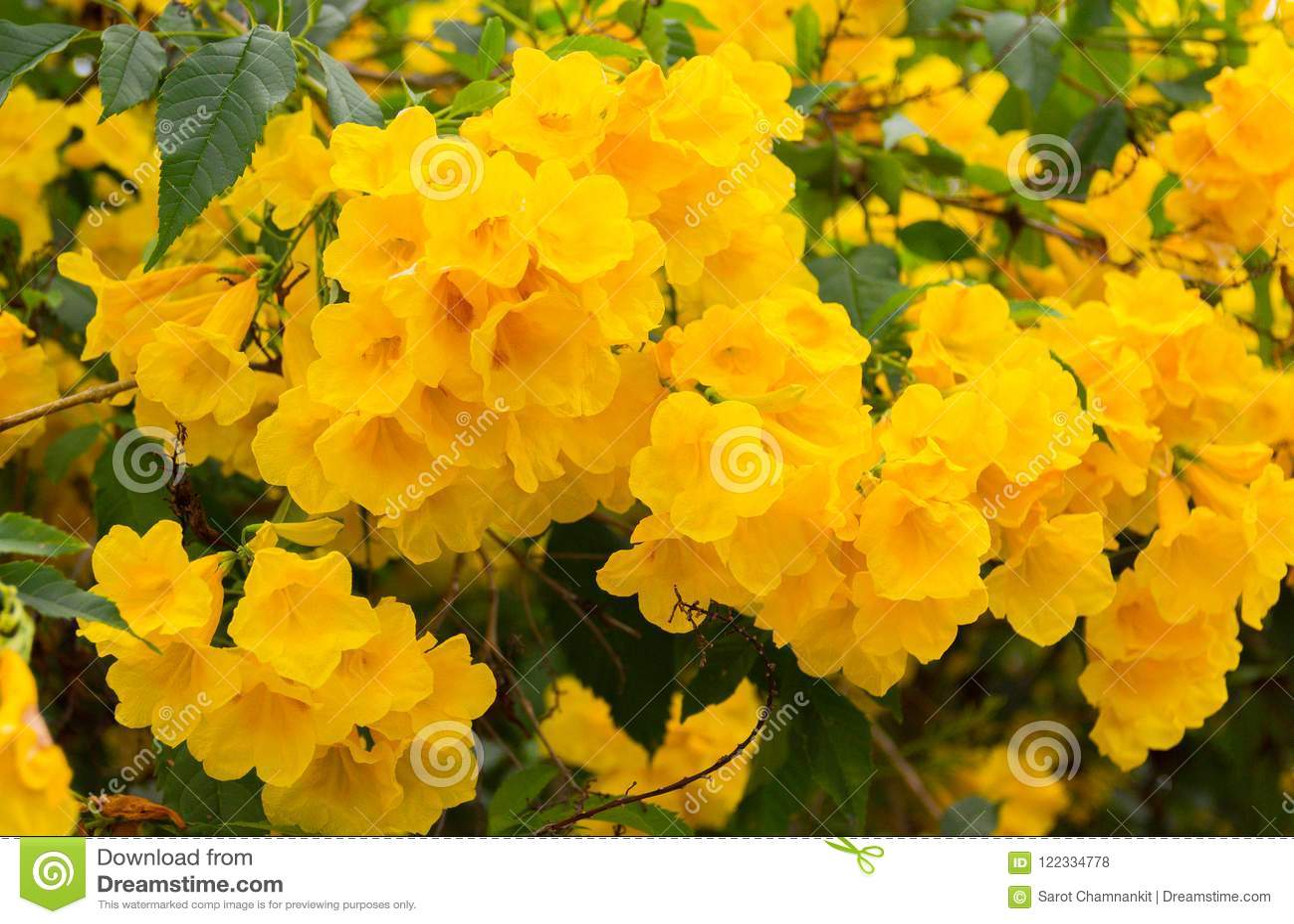 Yellow elder trumpetbush beautiful yellow flowers bloom on a tr yellow elder trumpetbush scientific name tecoma stans beautiful yellow flowers bloom on a tree in the garden on a natural background mightylinksfo