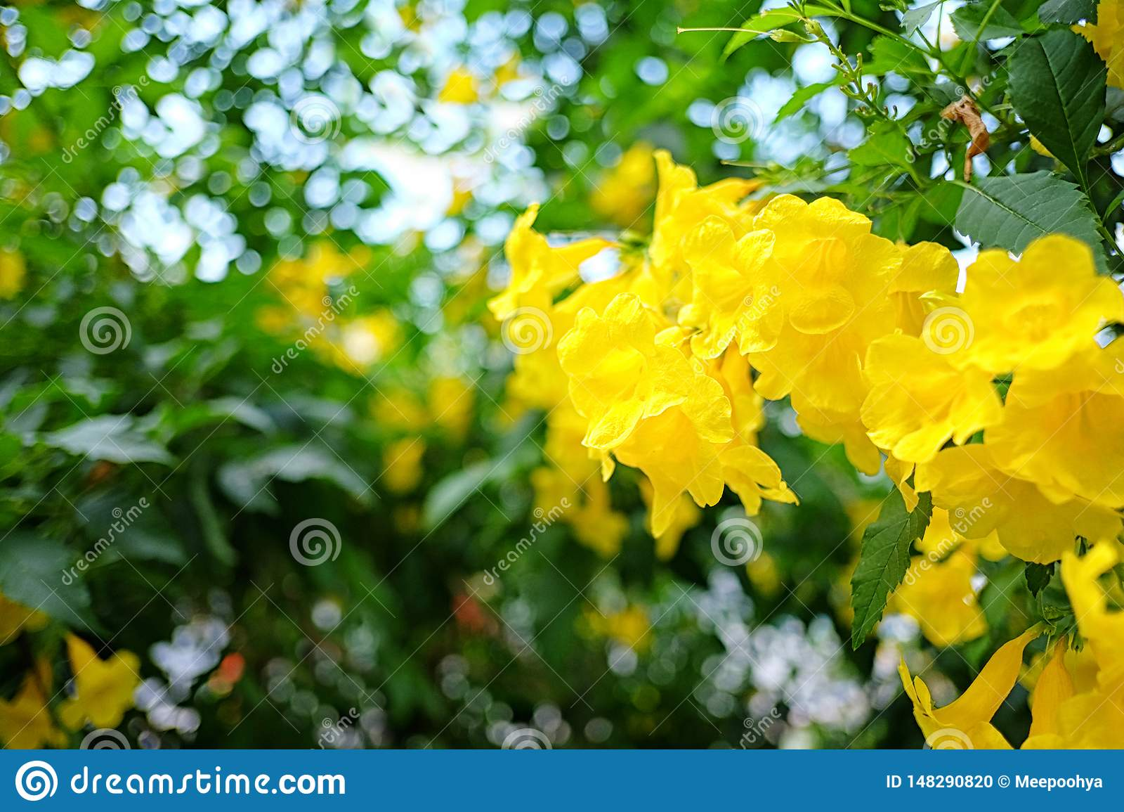 Yellow elder or Yellow Trumpetbush flower of blooming on tree