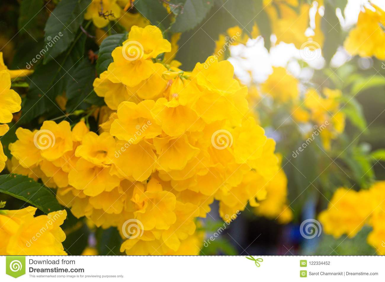 Yellow Elder Trumpetbush Beautiful Yellow Flowers Bloom On A Tr