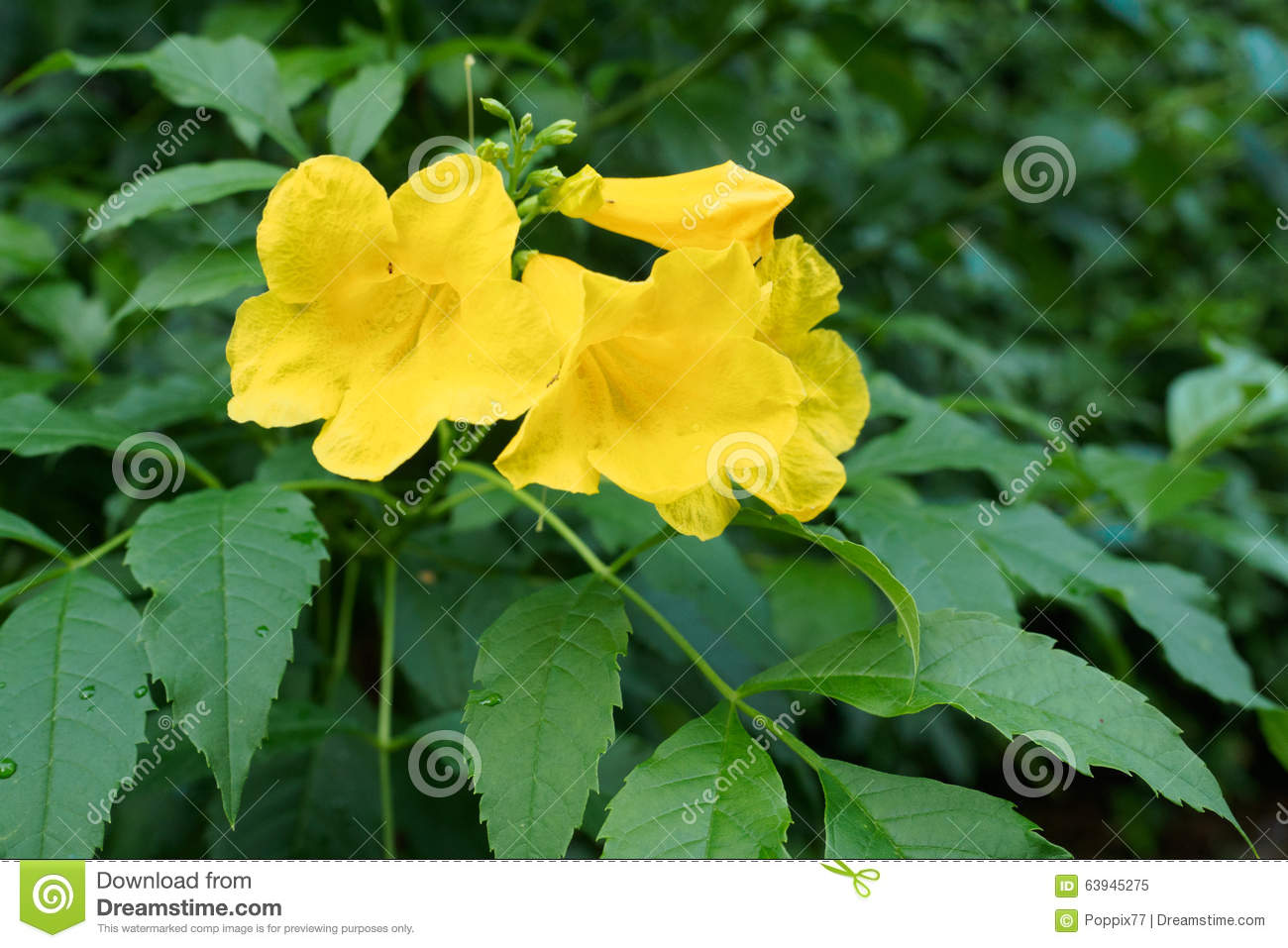 Yellow Elder Yellow Bells Or Trumpet Vine Flowers Stock Image