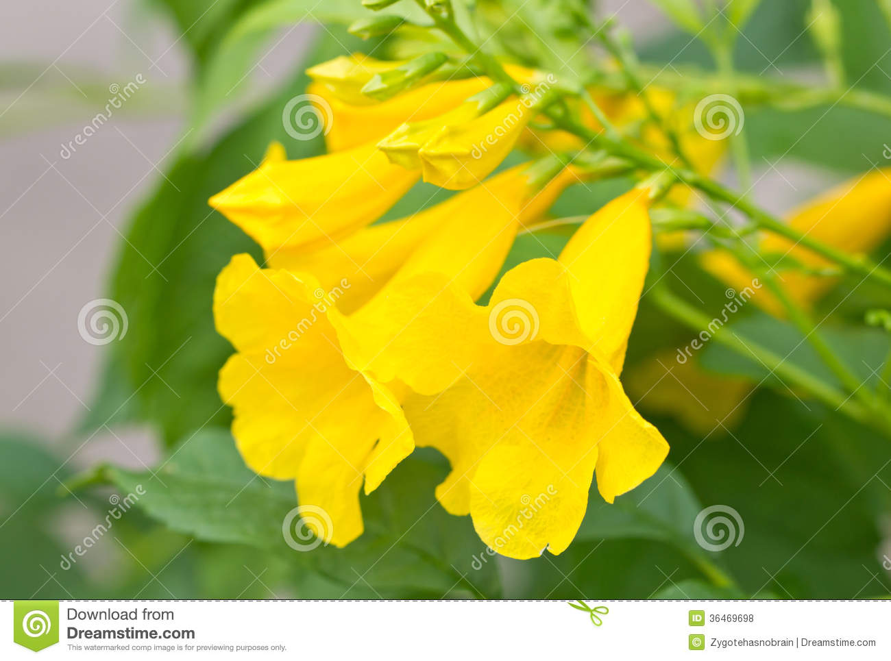 Yellow Elder Yellow Bells Or Trumpet Vine Flowers Stock Photo
