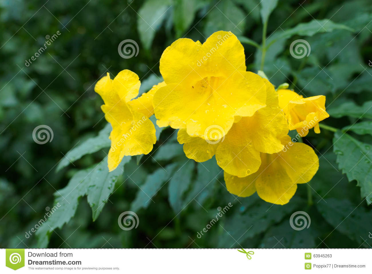 Yellow Elder Yellow Bells Or Trumpet Vine Flowers Scientific