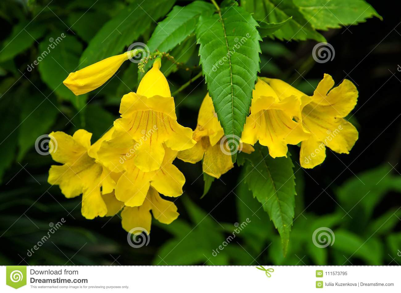 Yellow Elder Yellow Bells Or Trumpet Vine Flowers Tecoma Stans