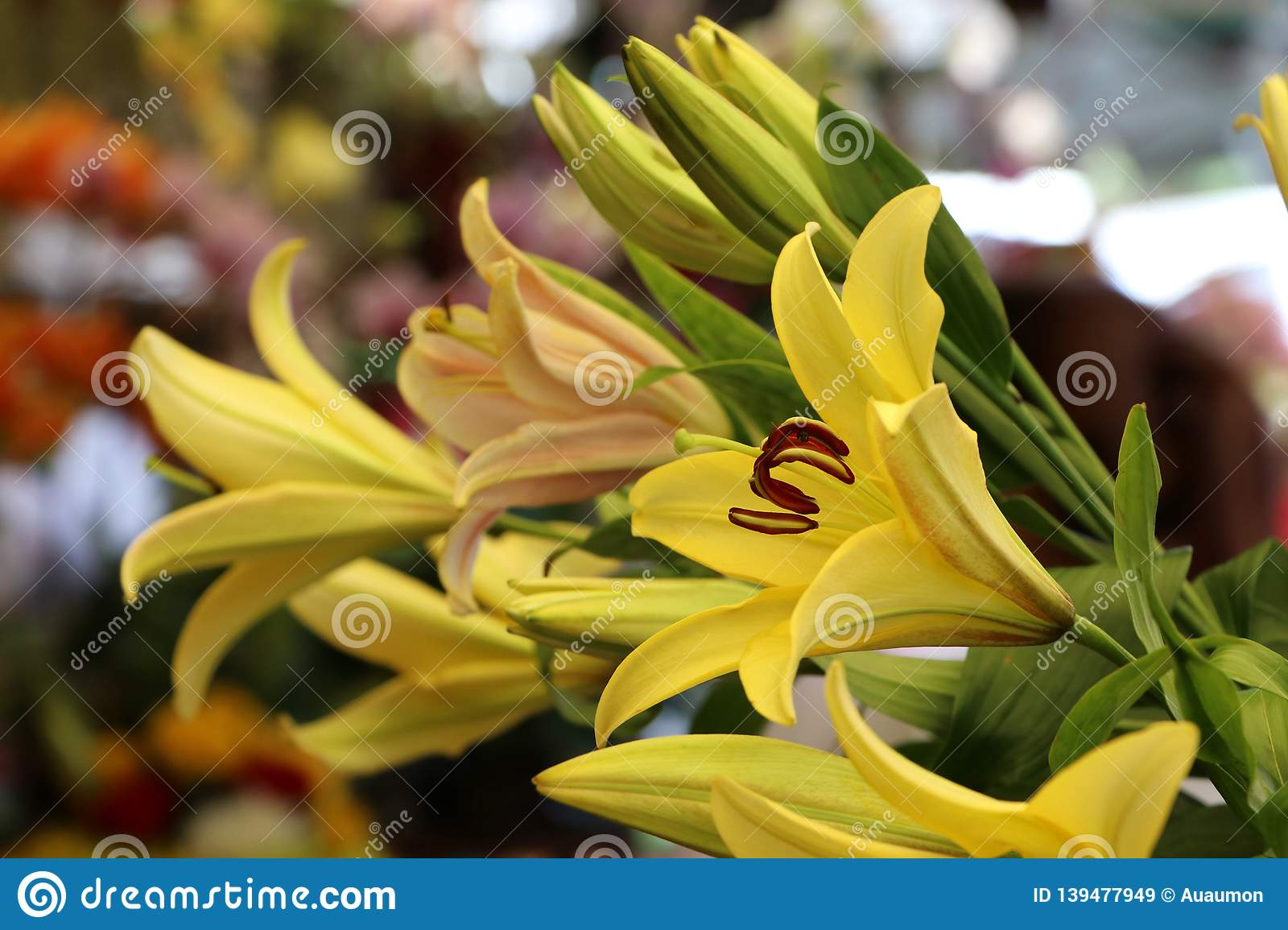Yellow Elegant Stargazer Lily Beautiful Flowers on blur background